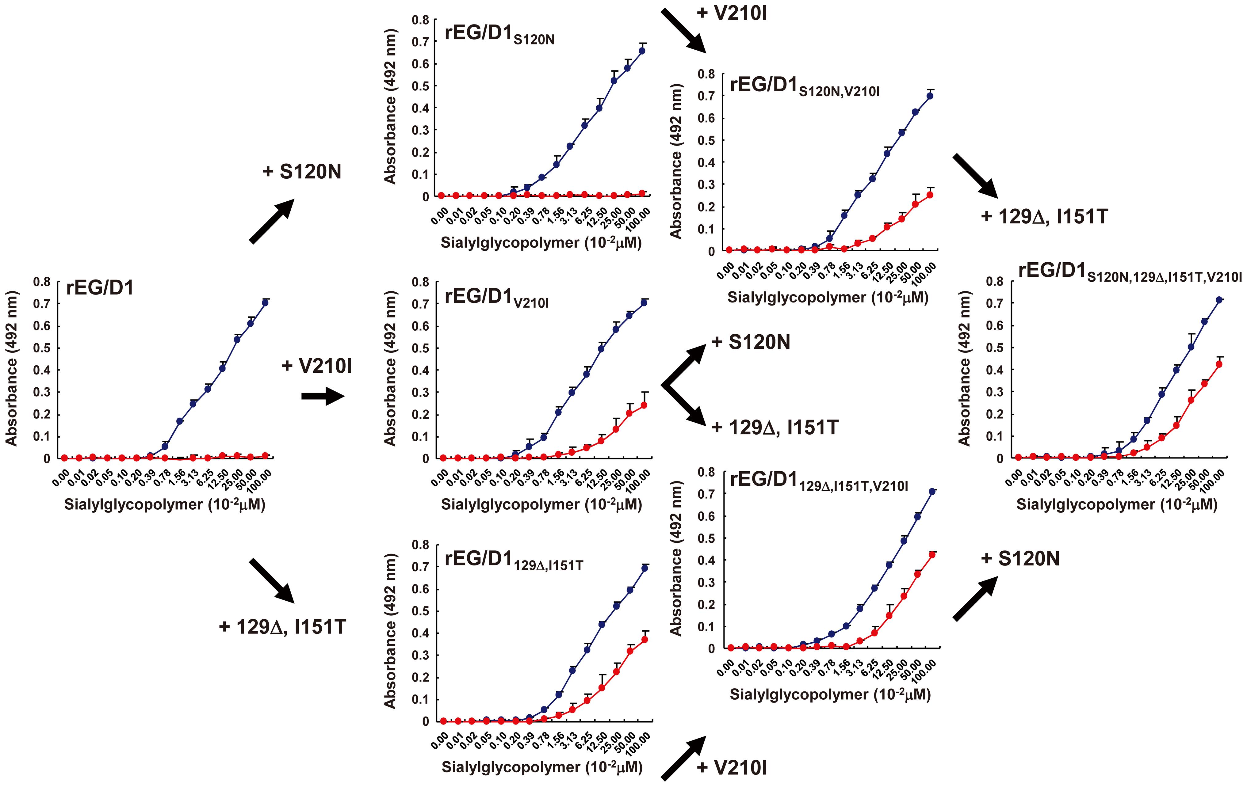 Effect of HA mutations in sublineage BII viruses on receptor specificity of EG/D1 HA.