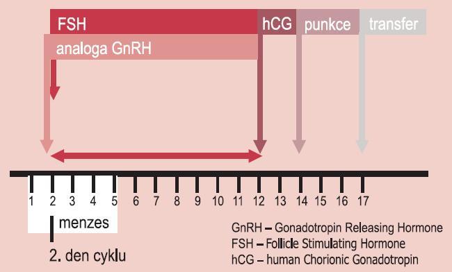 Schéma aplikace GnRH analog a folikulostimulačního hormonu v krátkém protokolu.
