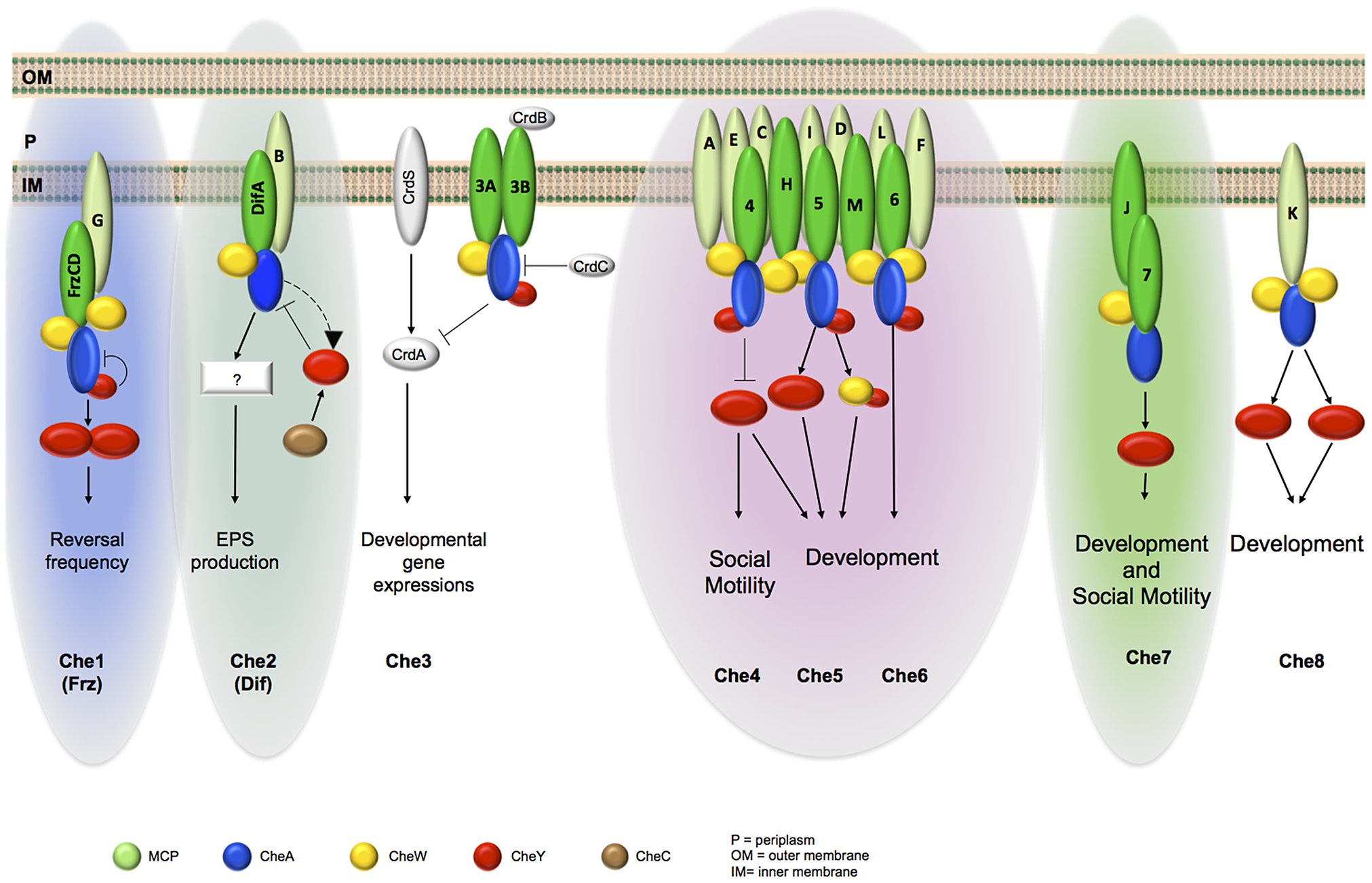 Schematic organization of <i>M. xanthus</i> Che modules as depicted from phylogenetic, cell biology and protein interaction analyses.