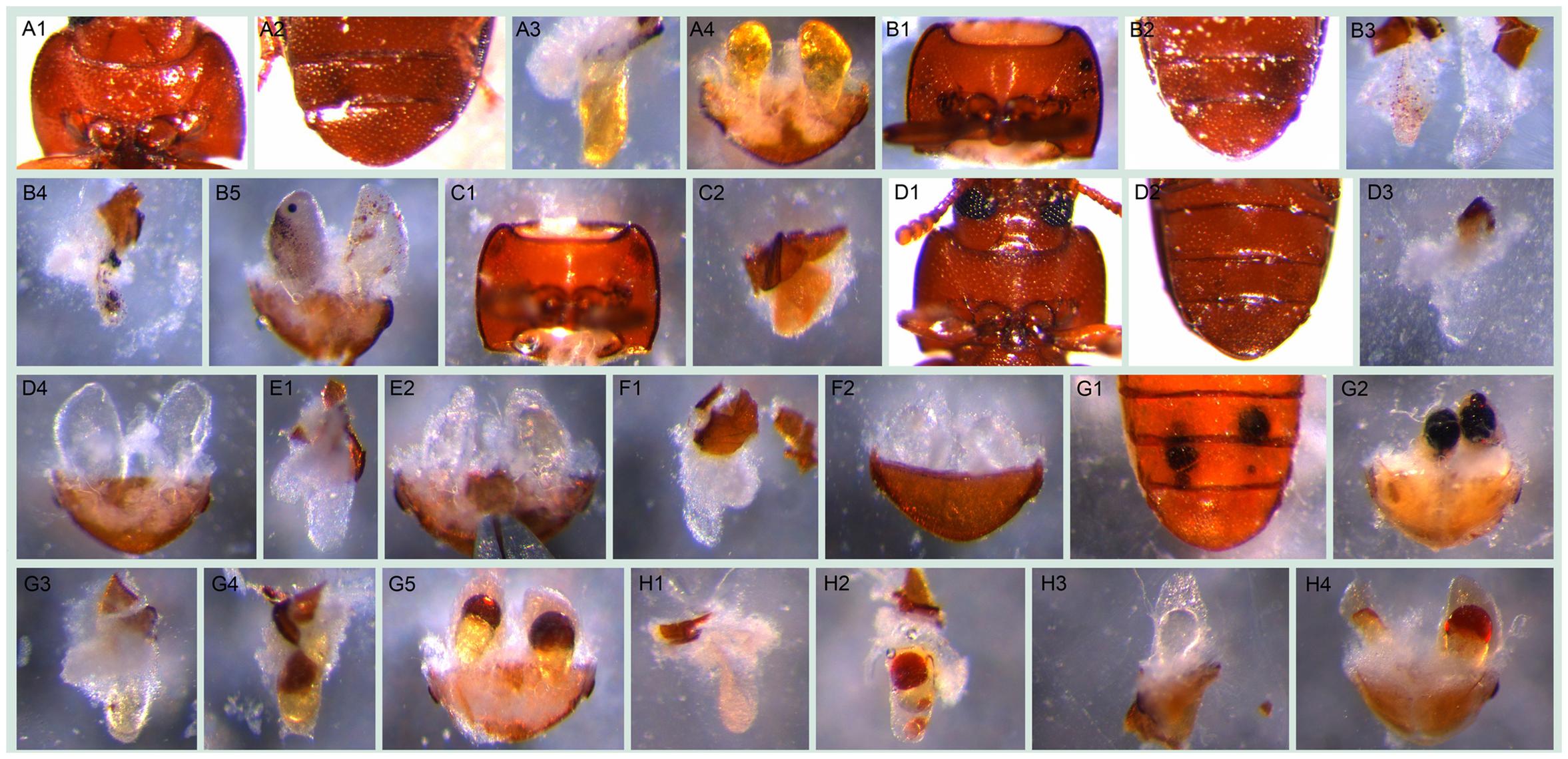 Visible morphological gland phenotypes after RNAi.