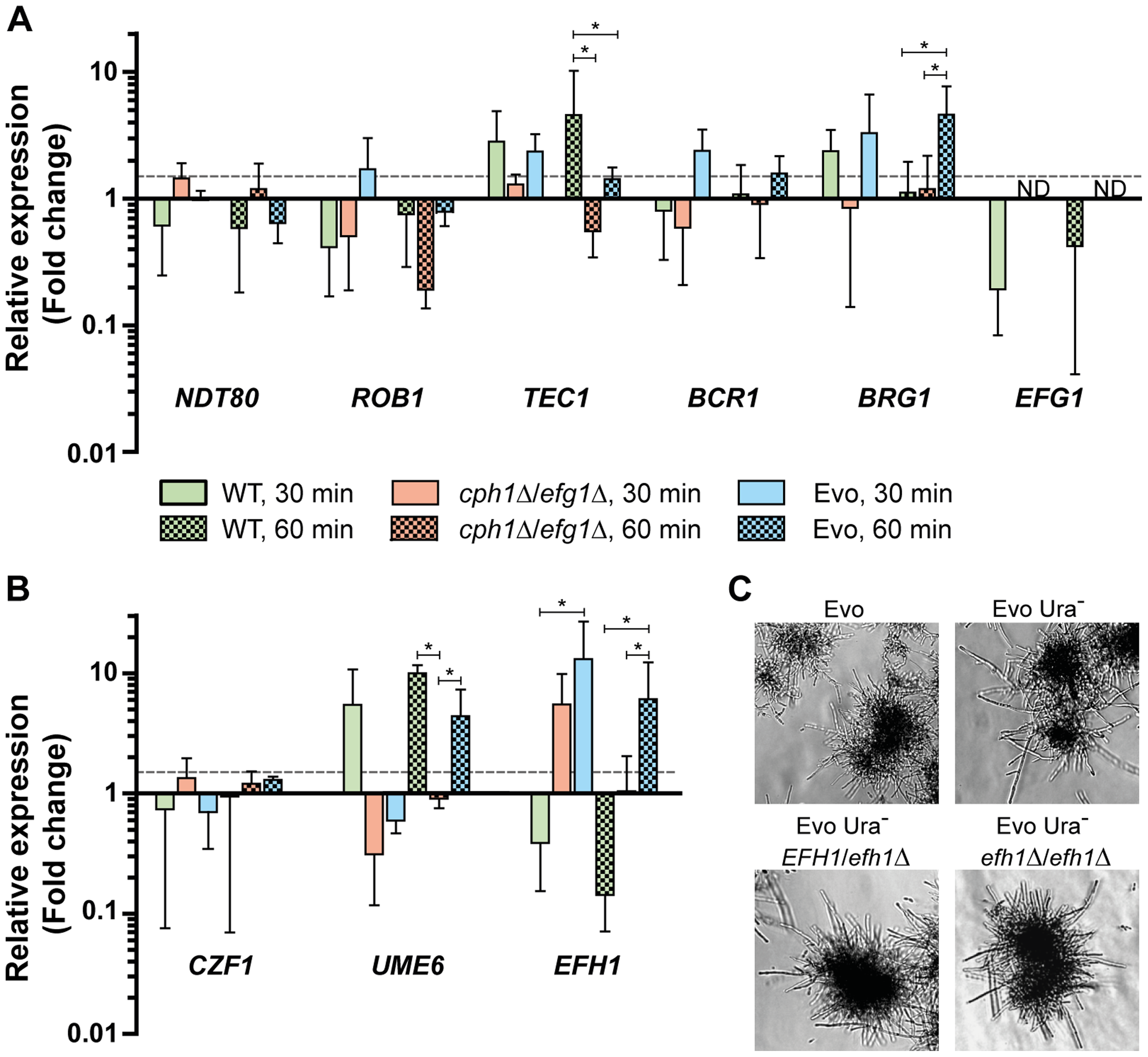 Expression of transcription factors under filament-inducing conditions.