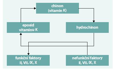 Schéma. Cyklus vitaminu K