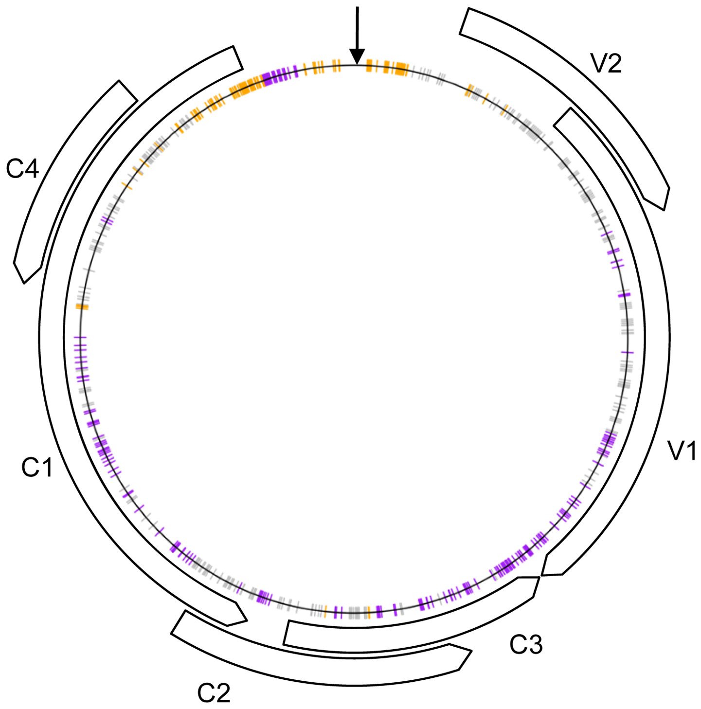 Schematic representation of the recombinant genomes indicating nucleotide positions at which more than expected <i>Tomato yellow leaf curl virus</i> (TYX; orange) or <i>Tomato leaf curl Comoros virus</i> (TOX; purple) derived nucleotides are found (<i>p</i>-value<0.001) under the assumption of random recombination.