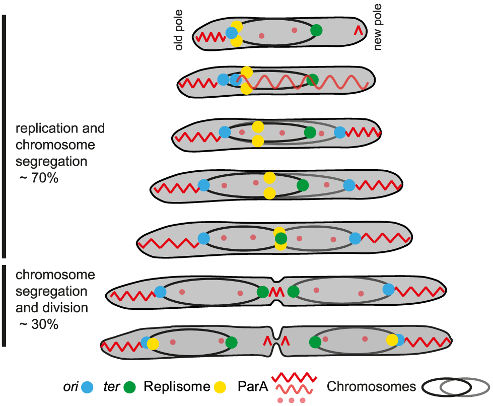 Chromosome arrangement and dynamics in <i>M. xanthus</i>.