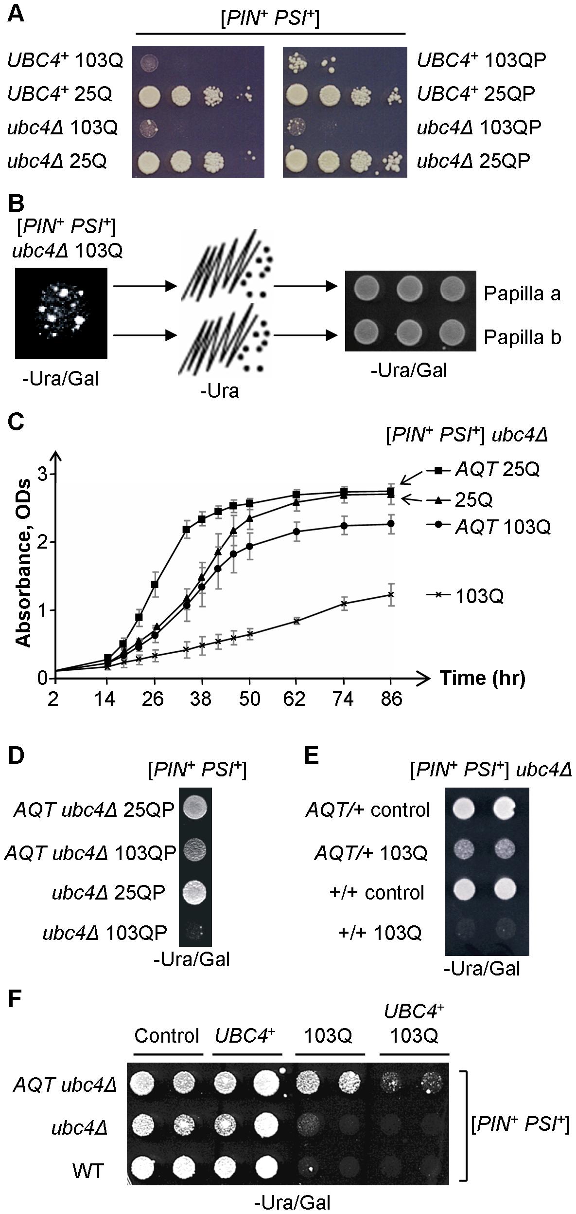 Isolation and characterization of anti-polyQ toxicity (<i>AQT</i>) derivatives.