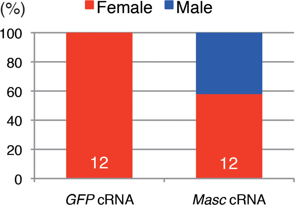 Injection of <i>Masc</i> cRNA rescued the male-specific death of <i>Wolbachia</i>-infected embryonic <i>Ostrinia</i>.