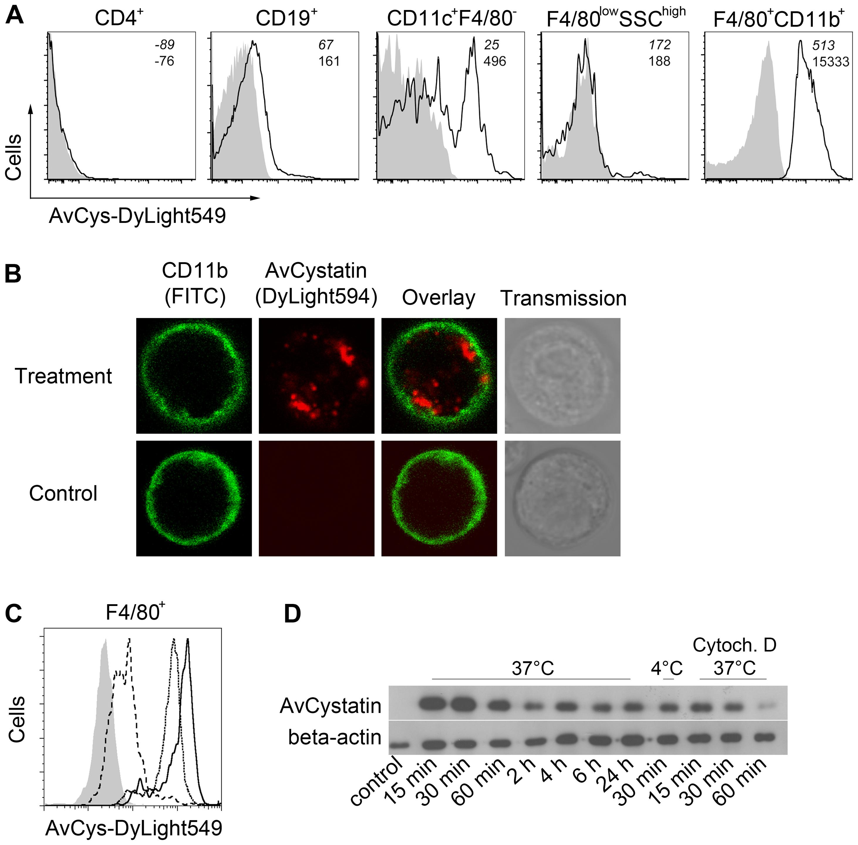 Uptake of AvCystatin by peritoneal macrophages.