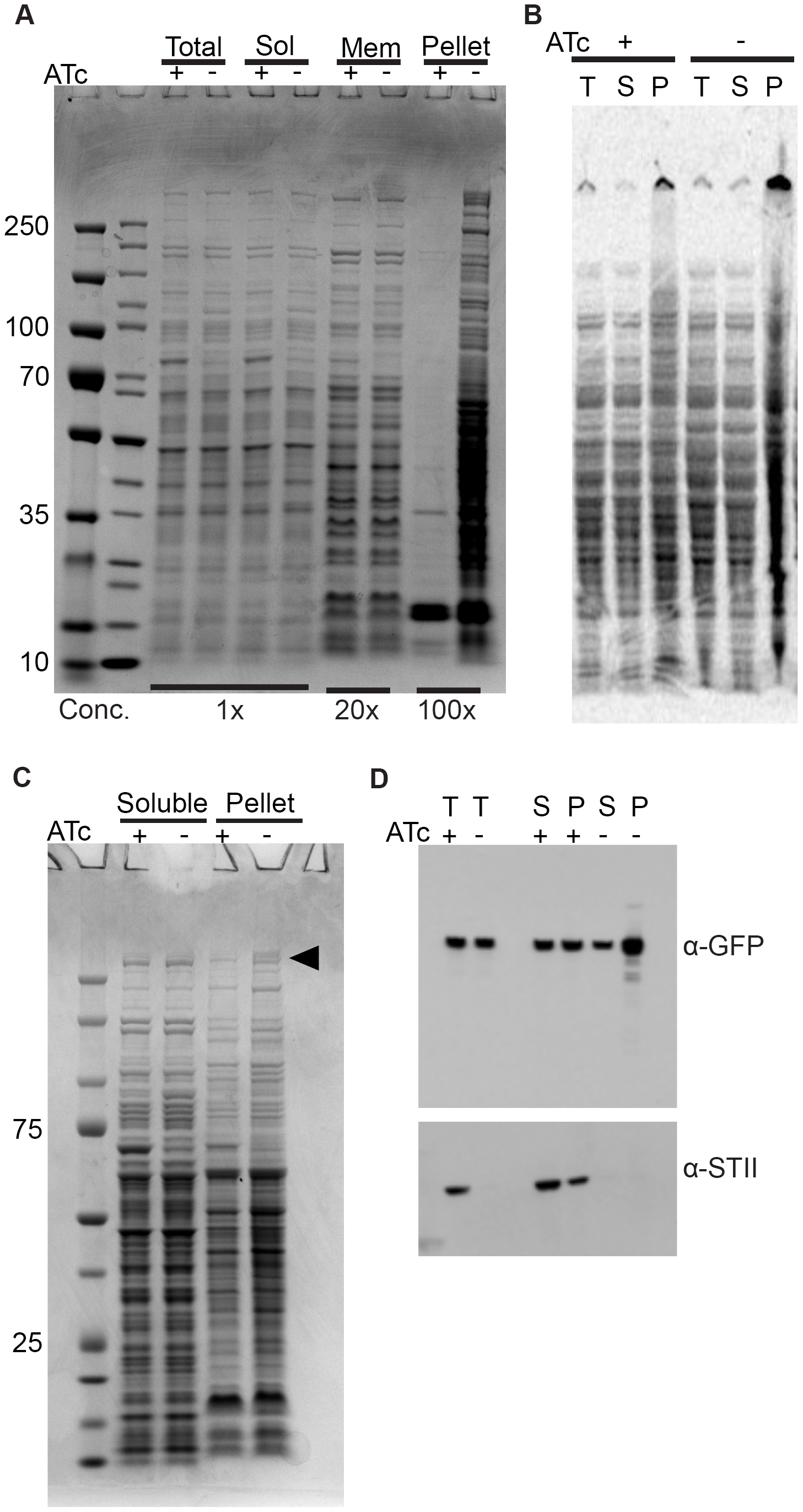 Depletion of Ms DnaK leads to an increase in insoluble protein, including large, multimodular proteins.