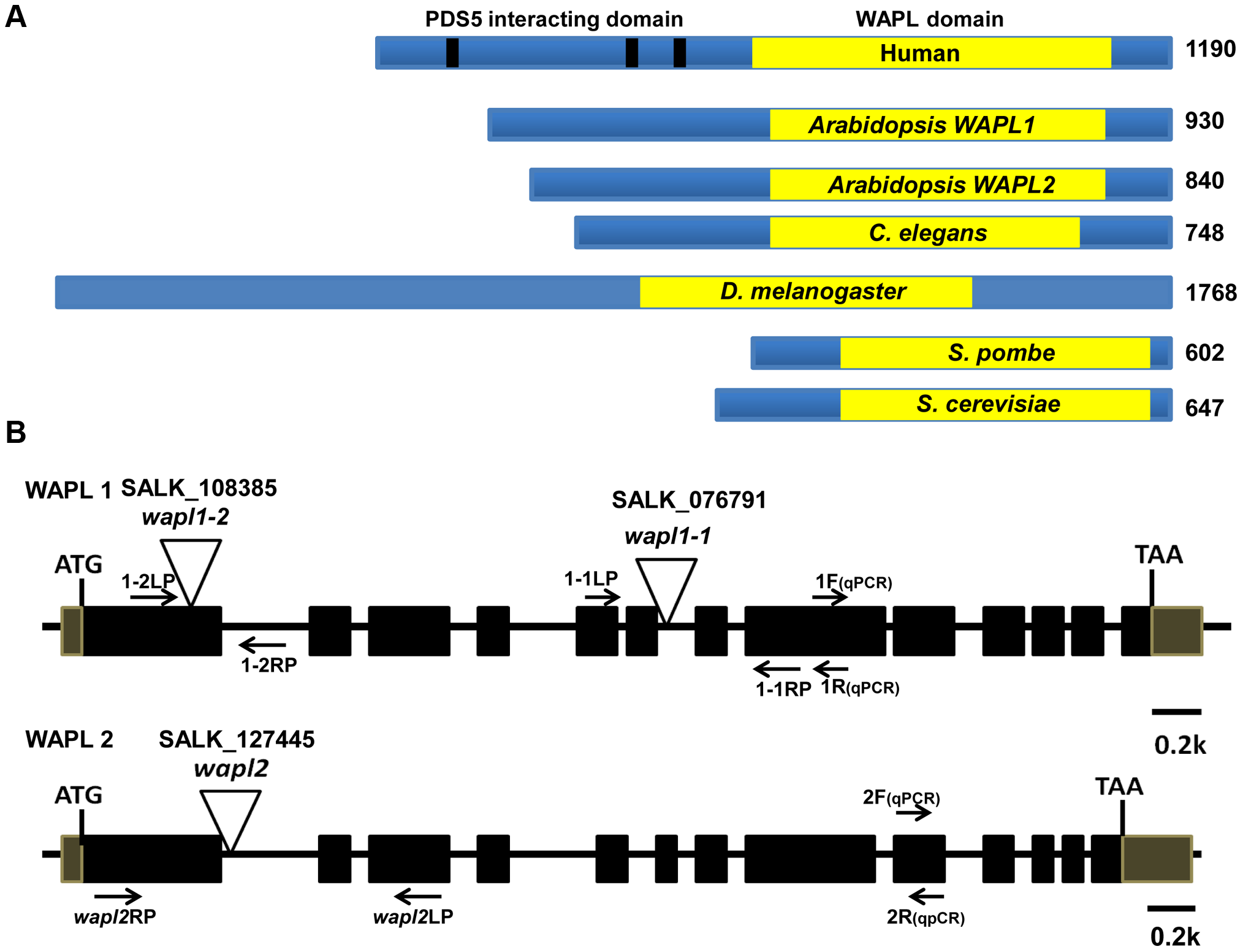 <i>Arabidopsis</i> WAPL protein and gene structures.