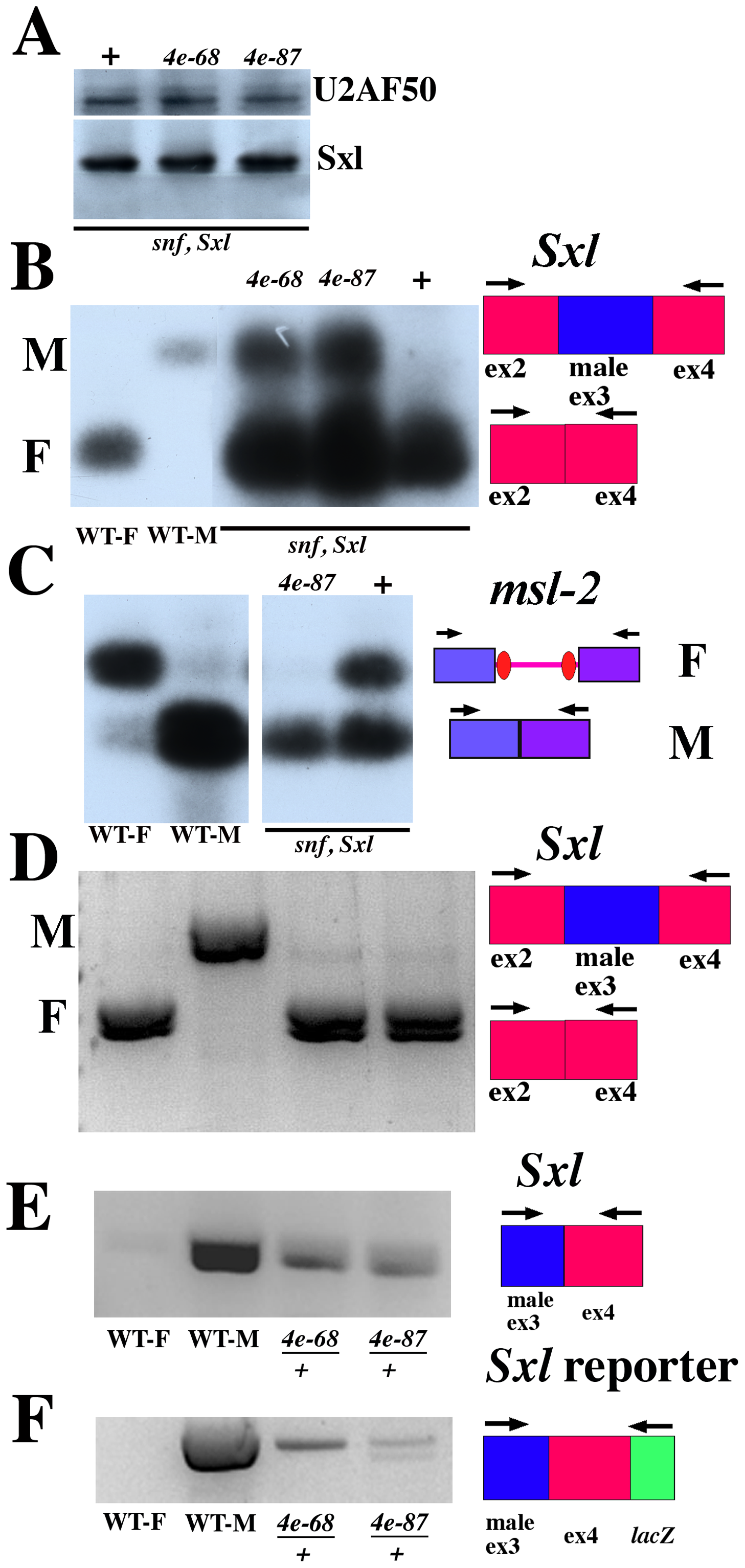 <i>eif4e</i> mutations shift Sxl regulated splicing toward male mode although Sxl protein levels are normal.