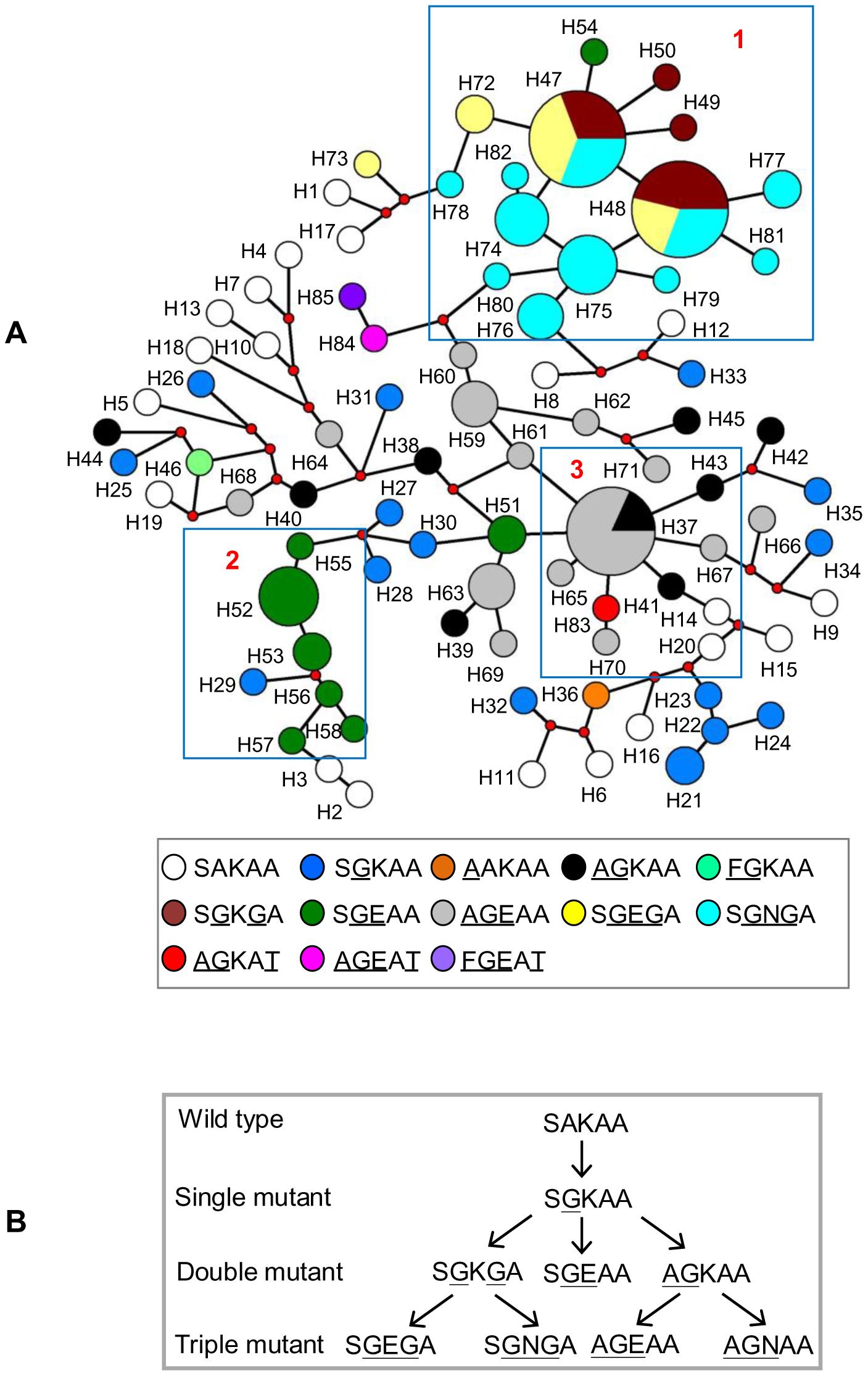 Genetic relationships among <i>dhps</i> alleles in Cambodia.