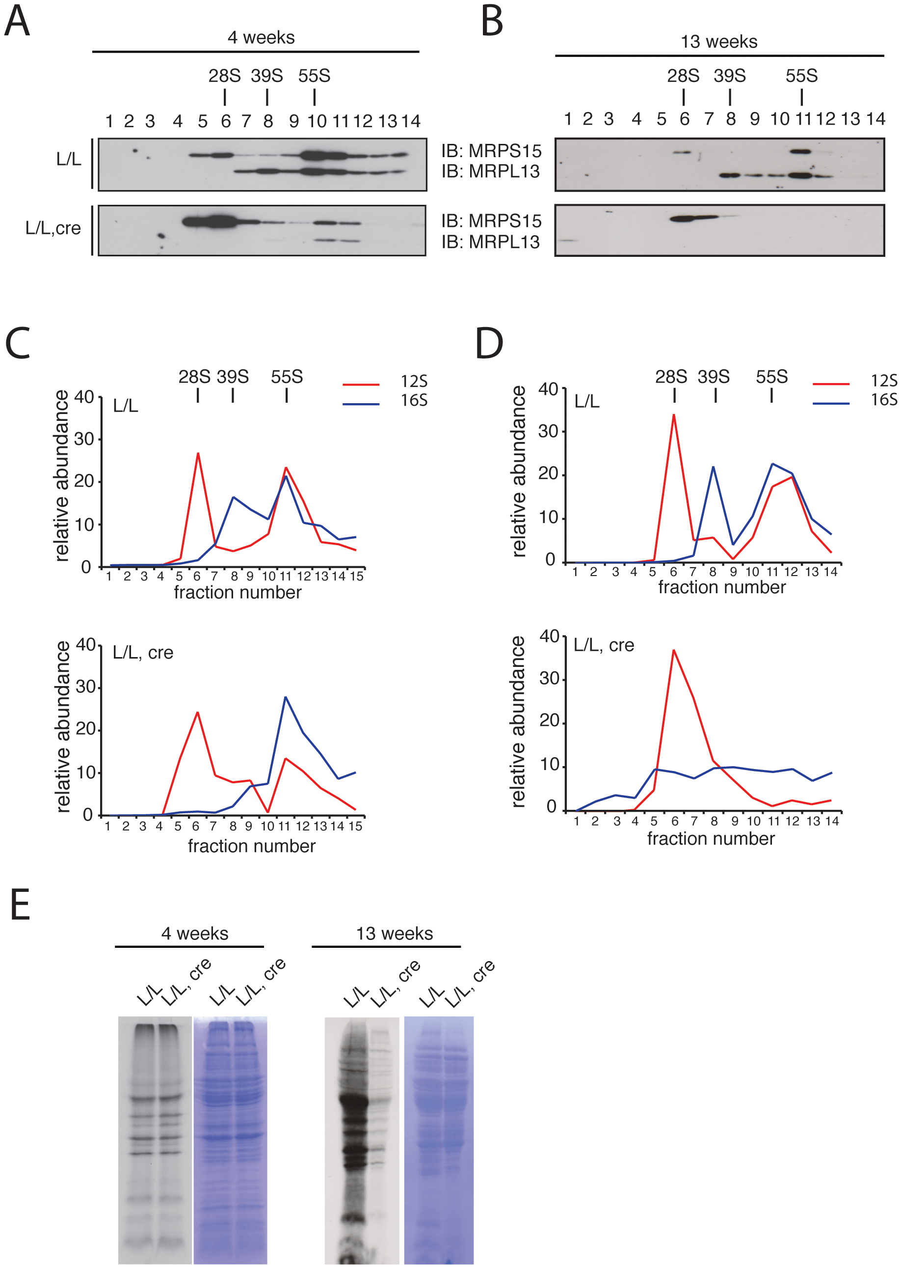 Mitochondrial ribosome assembly and <i>de novo</i> translation in hearts of <i>Mterf3</i> knockout mice.