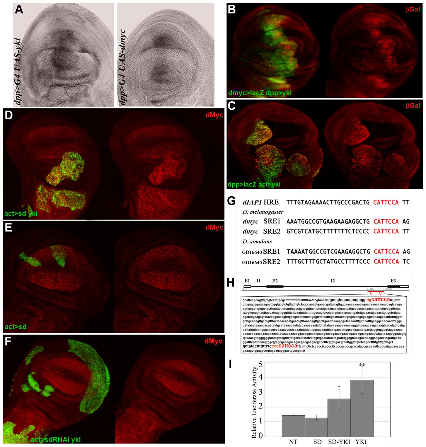 Yki regulates <i>dmyc</i> transcription.