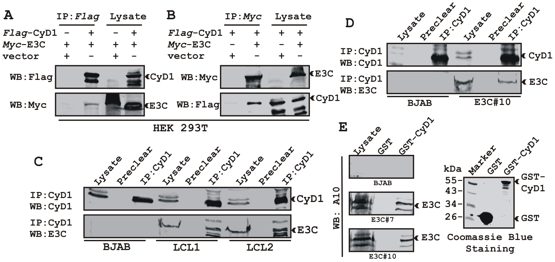 EBNA3C forms a complex with Cyclin D1 in human cells.