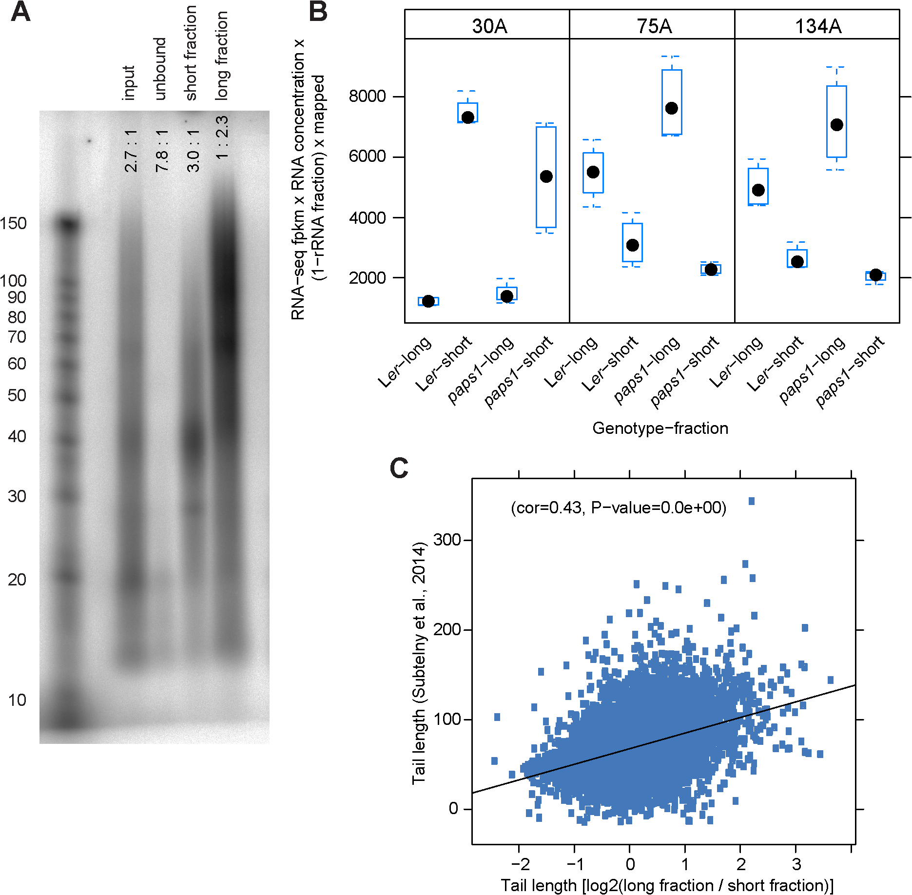 A fractionation-based approach to determine transcriptome-wide poly(A)-tail lengths.