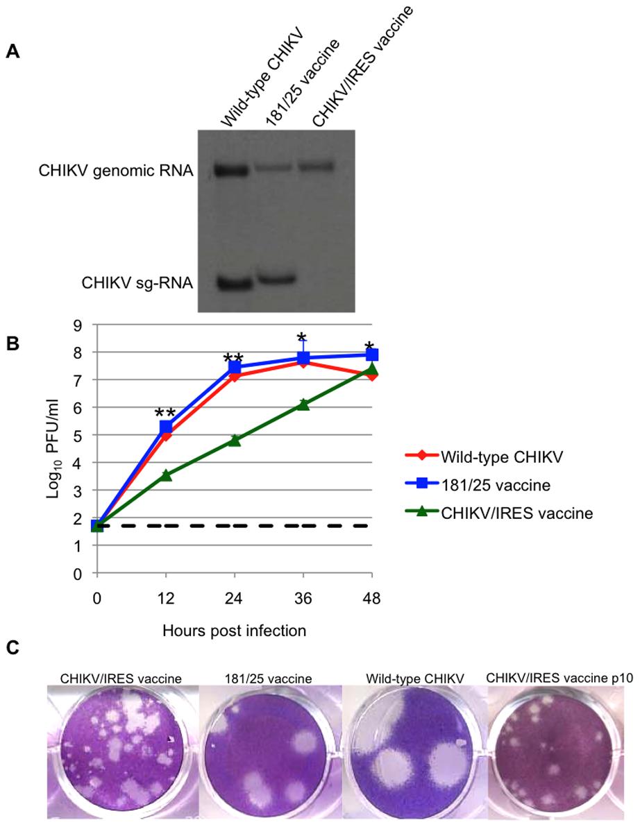 Replication of CHIKV/IRES in vitro.
