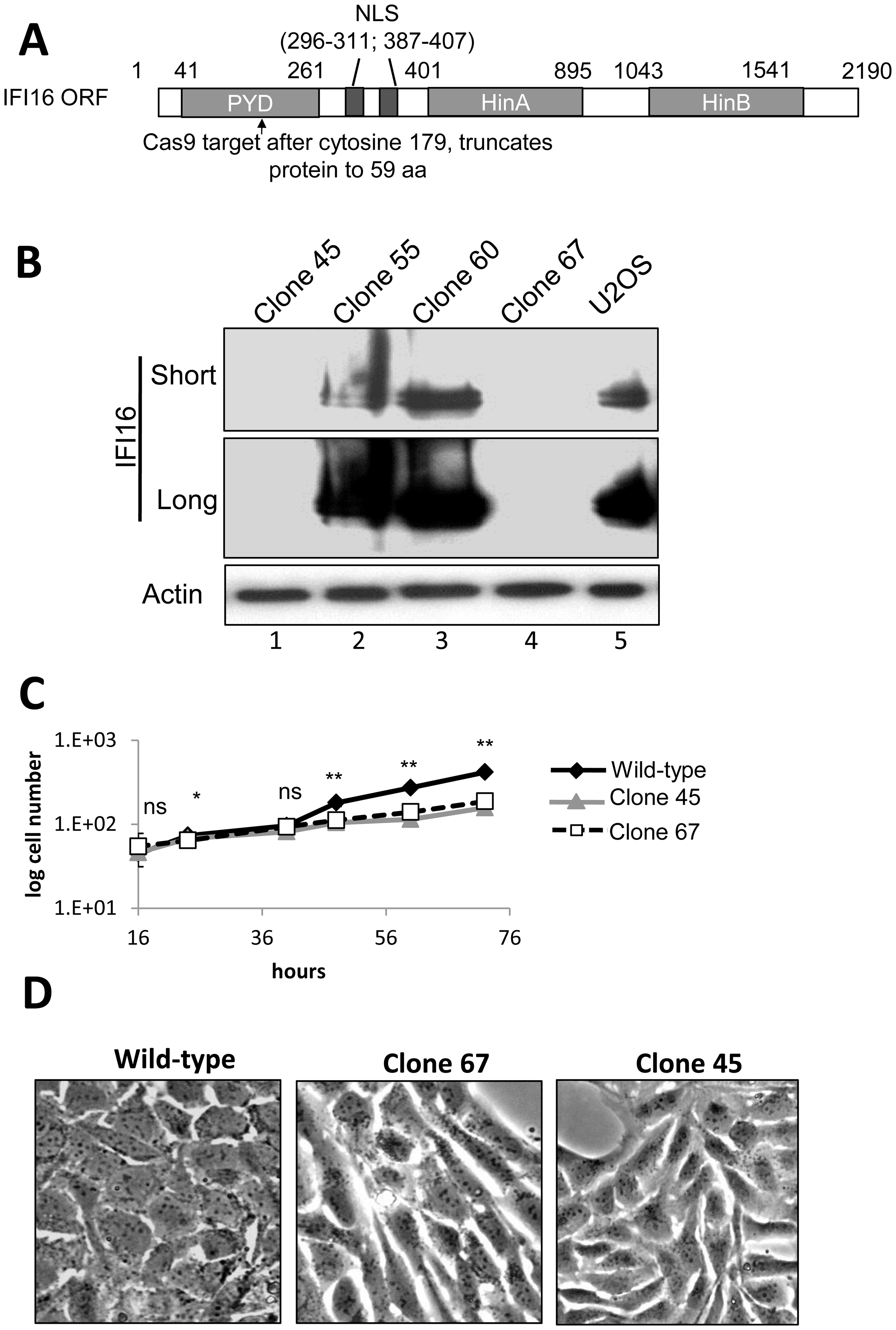 Cas9-mediated IFI16 gene editing and permanent depletion from U2OS cells.