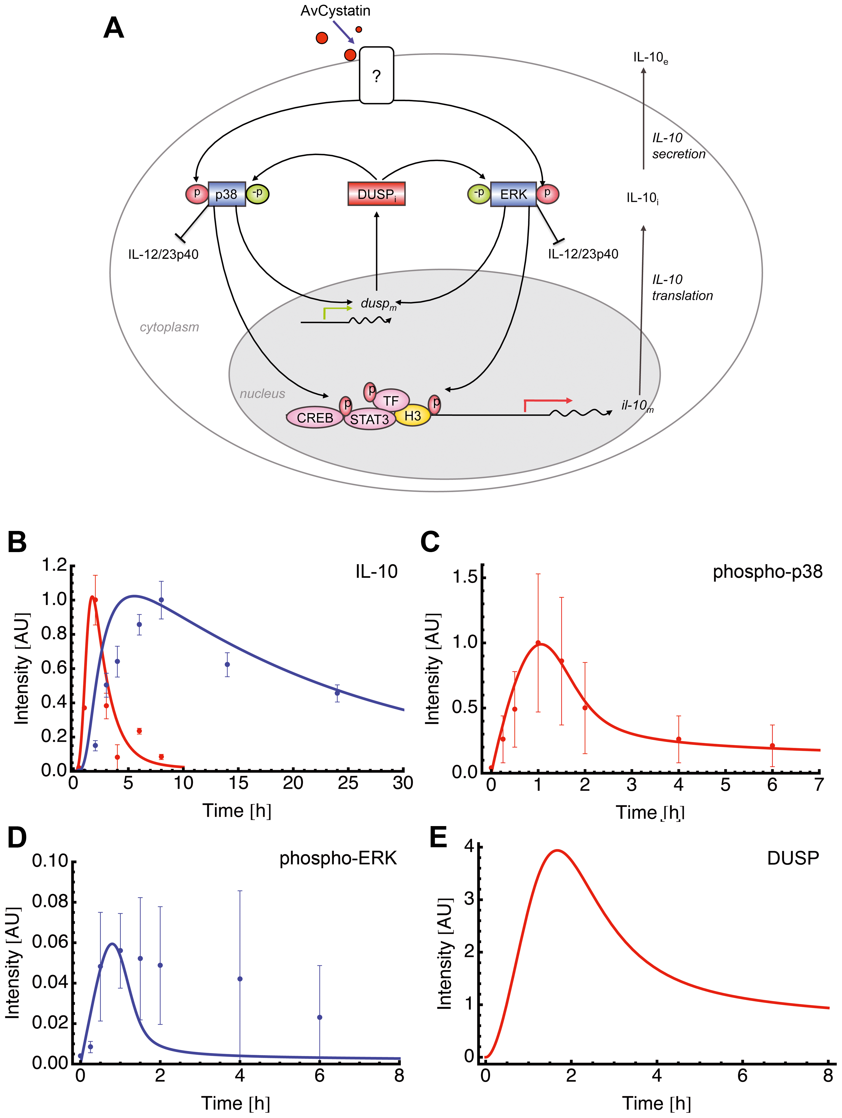 Mathematical model for AvCystatin induced IL-10 expression in macrophages.