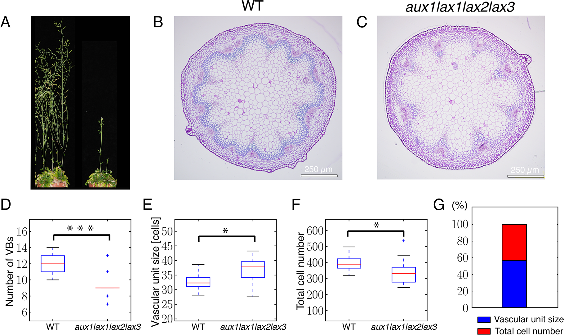 Auxin influx carrier quadruple mutants show fewer vascular bundles in the inflorescence stem due to an increased spacing of vascular bundles and to a decreased number of cells in the provascular ring.