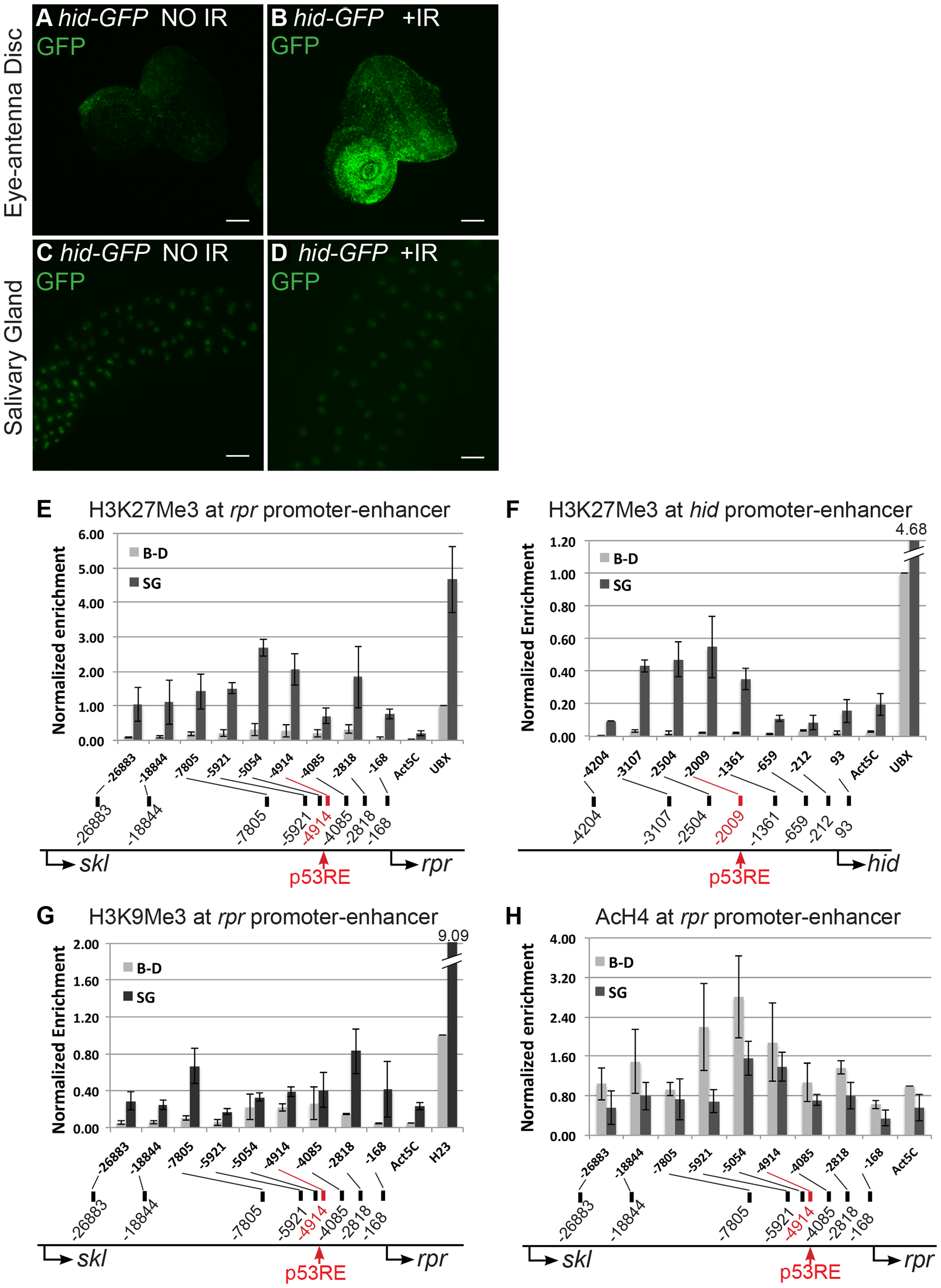 Pro-apoptotic genes at the H99 locus are transcriptionally silent and have repressive chromatin marks in endocycling cells.