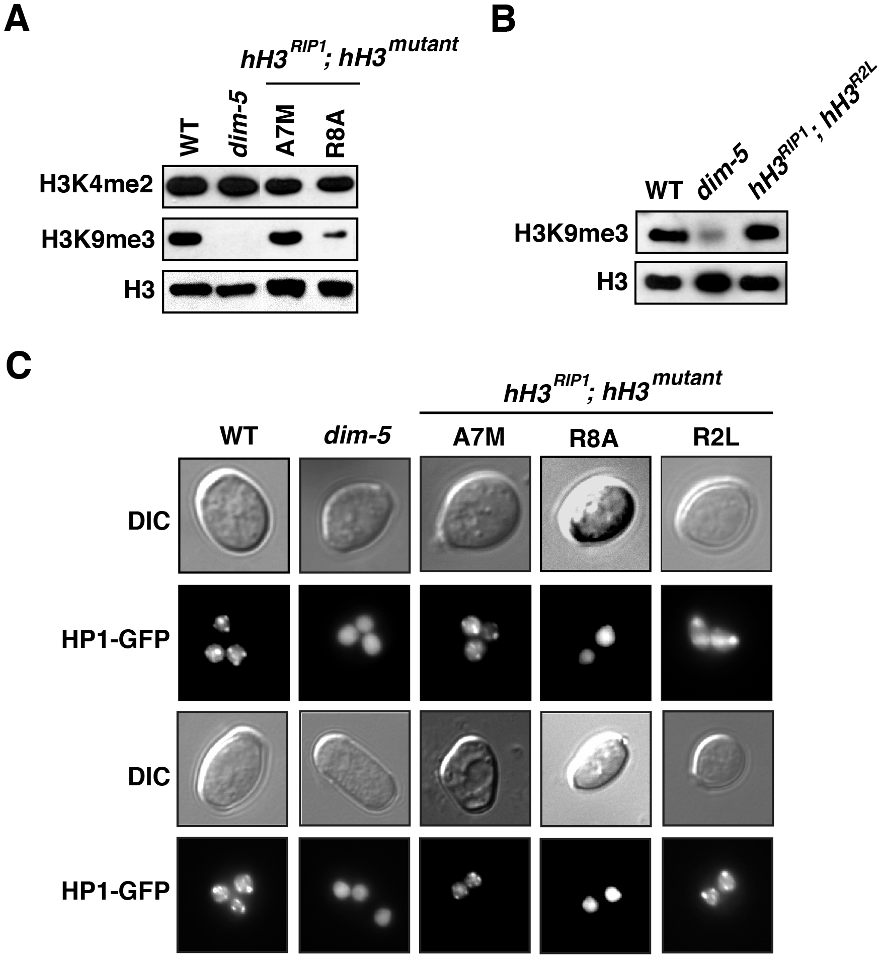 Reduced H3K9 methylation and HP1 binding in selected <i>hH3</i> substitution strains.