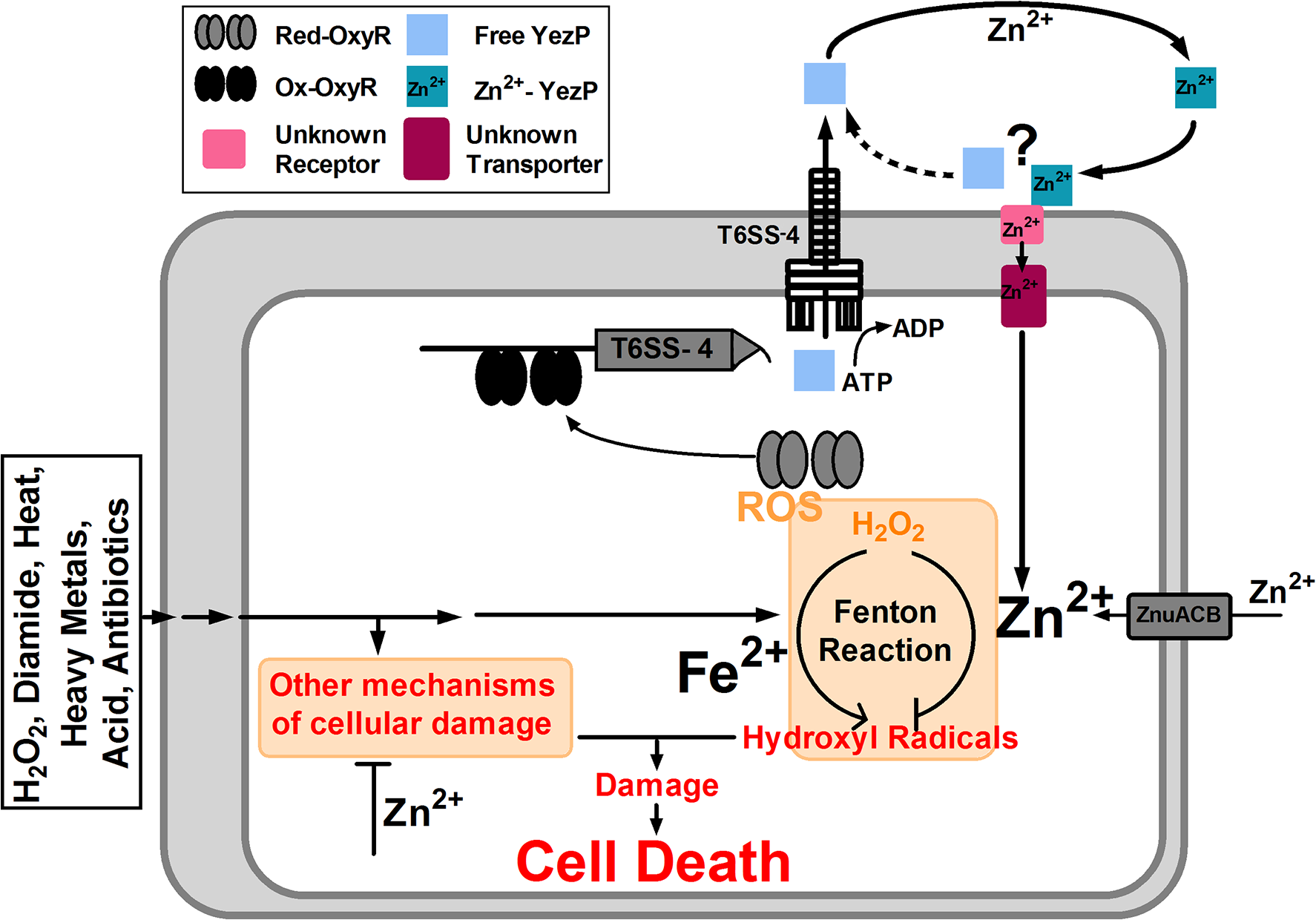 Model of T6SS-4-facilitated Zn<sup>2+</sup> transportation and oxidative resistance in <i>Yptb</i>.