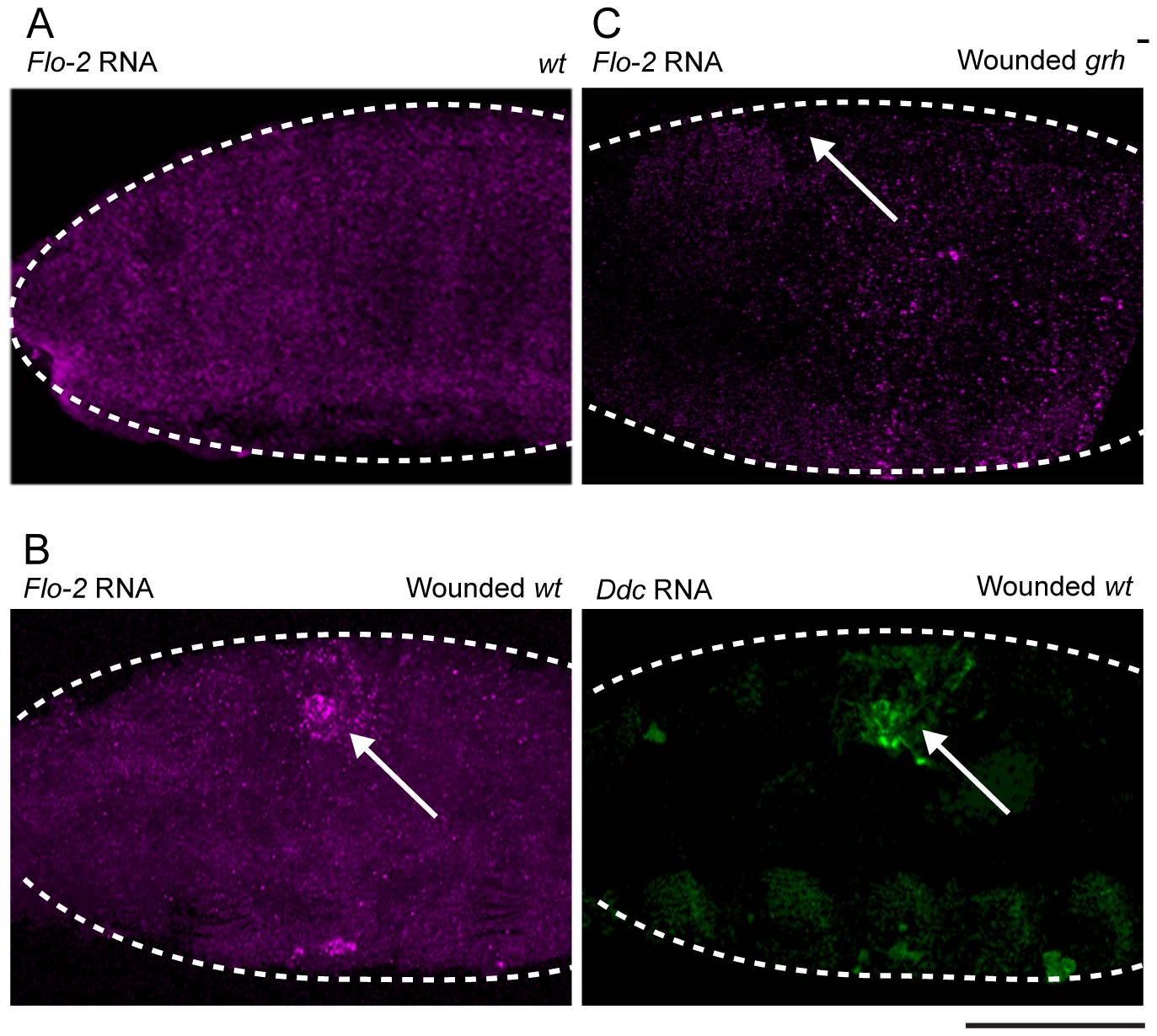 <i>Flo-2</i> transcriptional activation at wound site depends on <i>grainy head</i> function.
