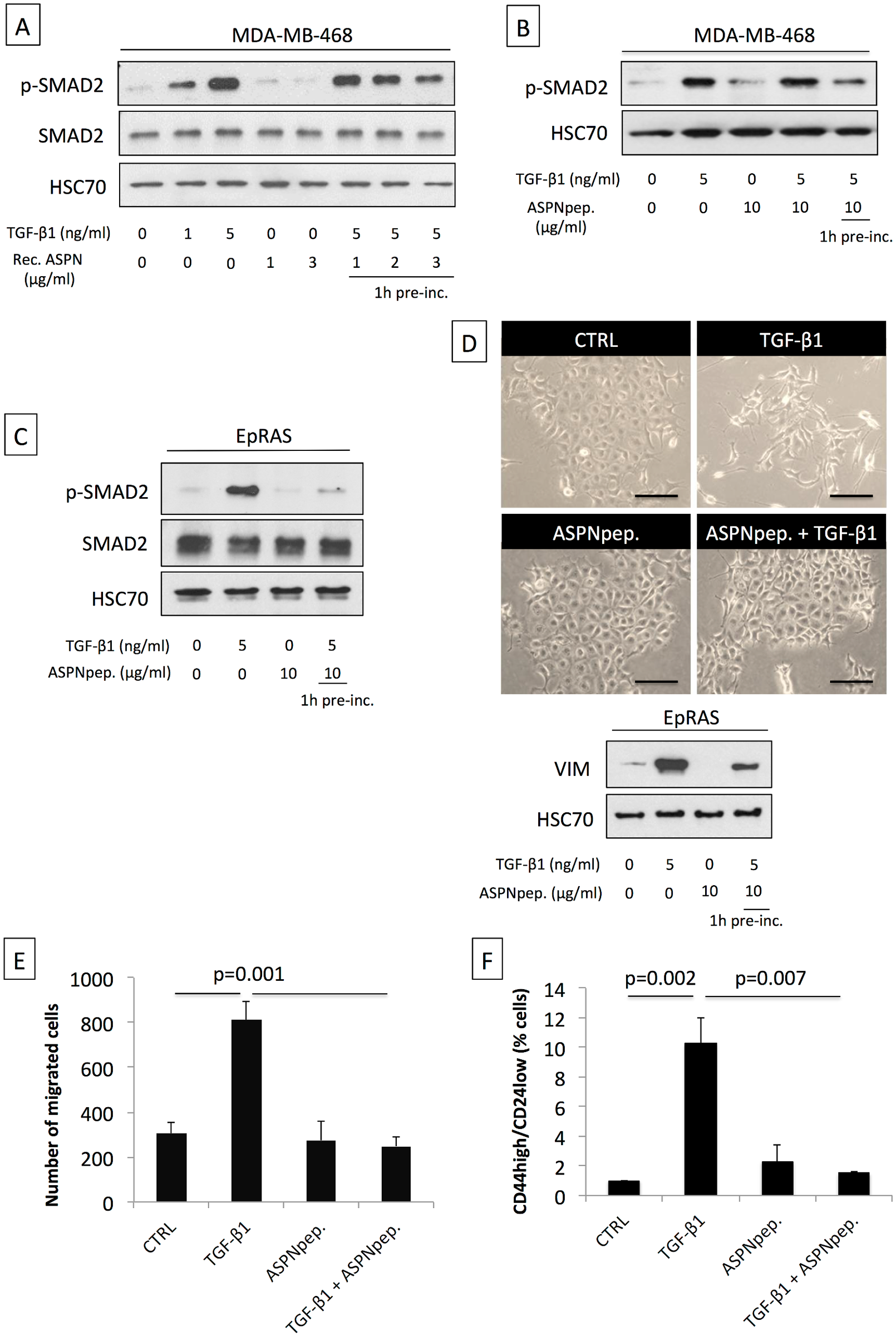 Asporin binds to TGF-β1 and inhibits its downstream signaling and function.