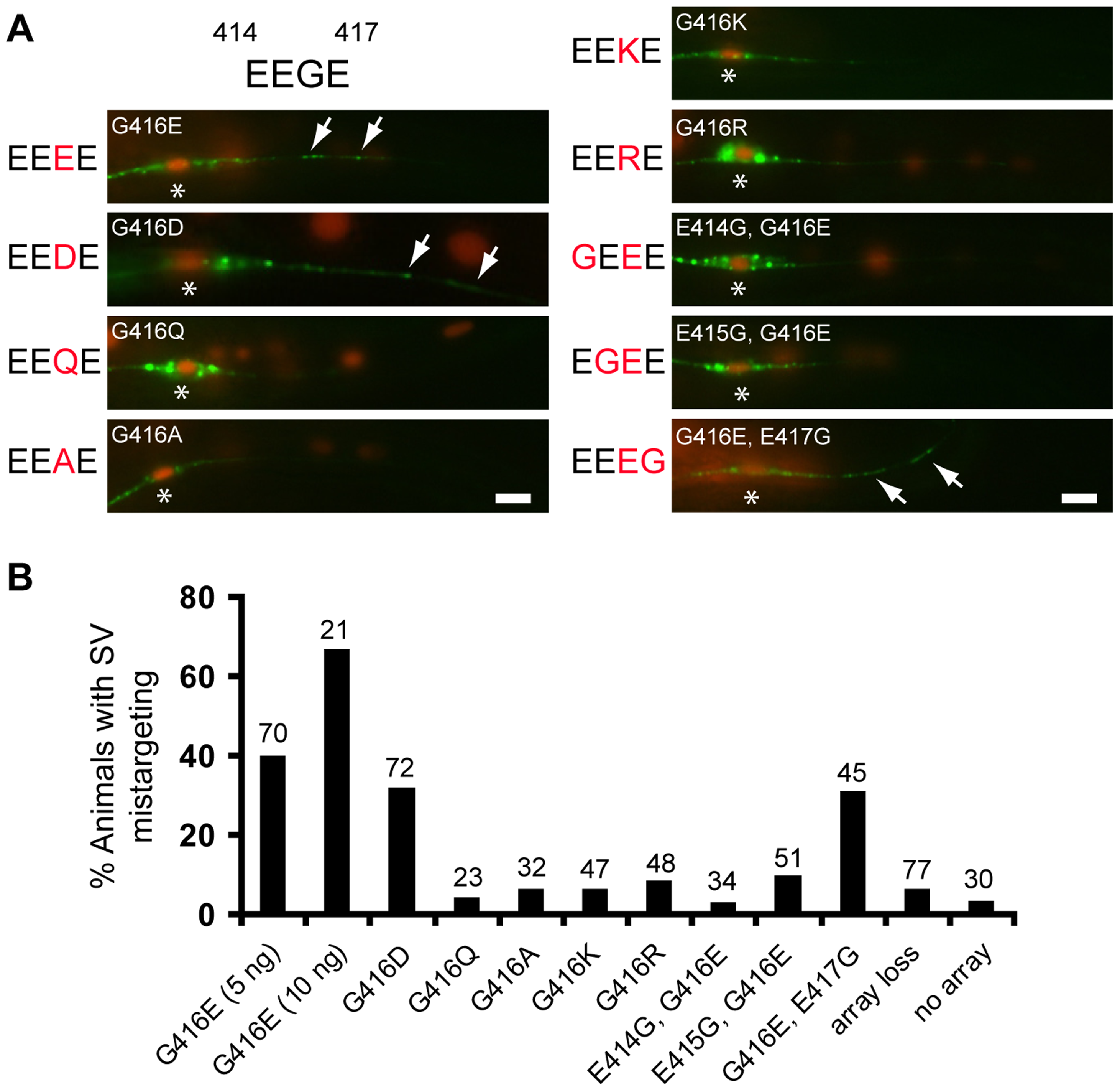 Negative charges of the EEGE cluster in the MEC-12 H12 helix instruct synaptic vesicle targeting.