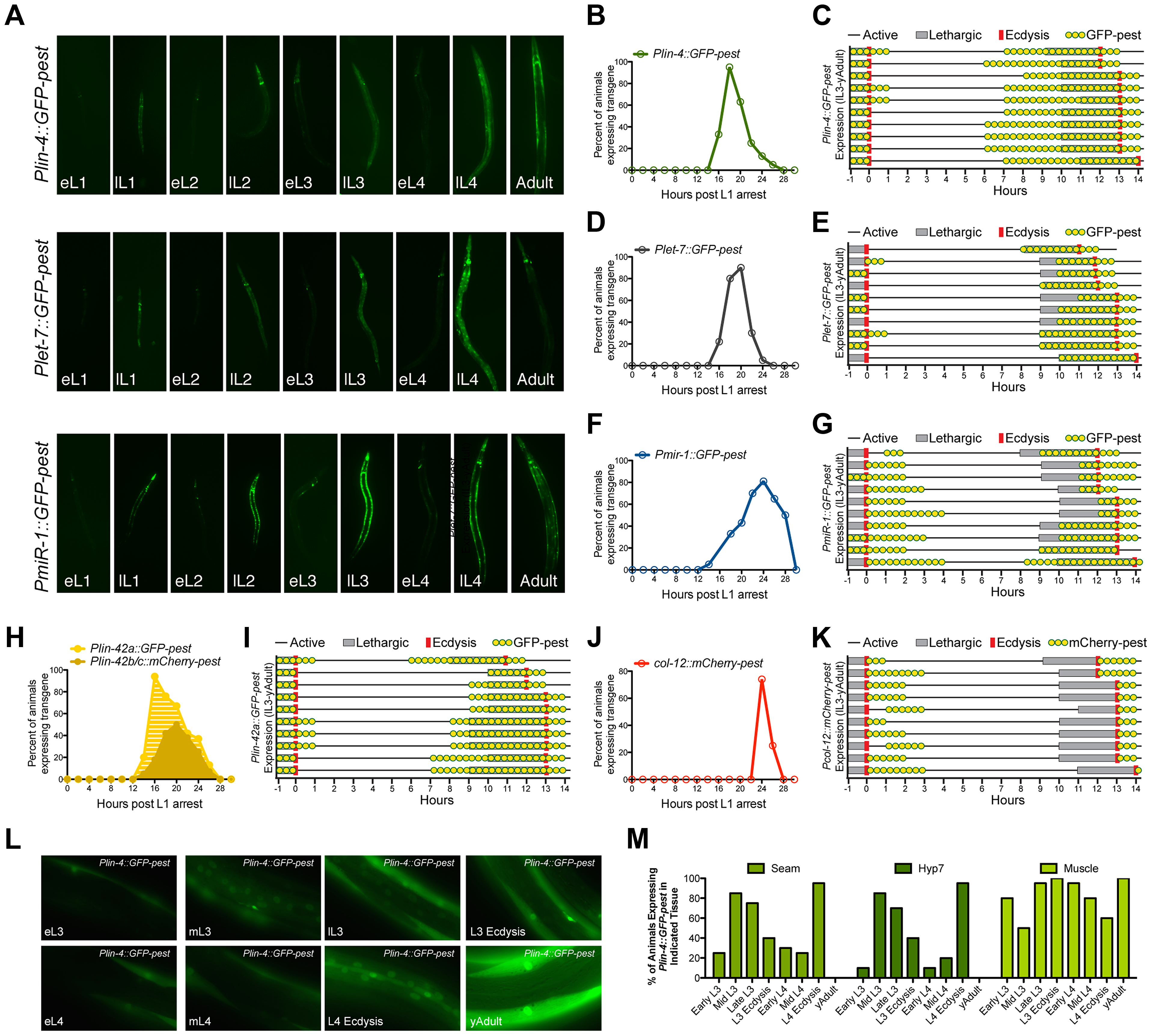 The promoters of three different miRNAs display dynamic expression patterns that are coupled to the larval molting cycle.