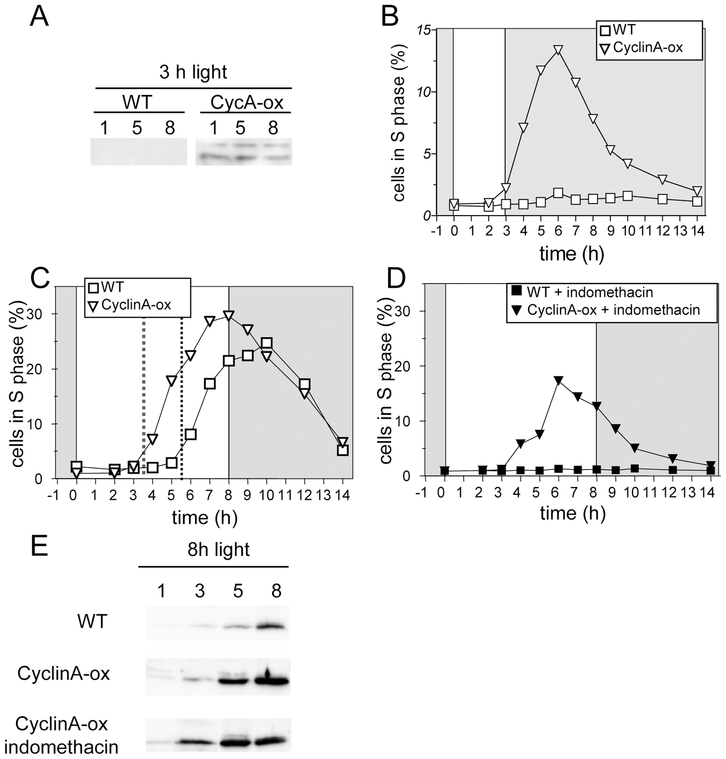 CyclinA overexpression induces S phase entry with an earlier timing in limiting conditions.