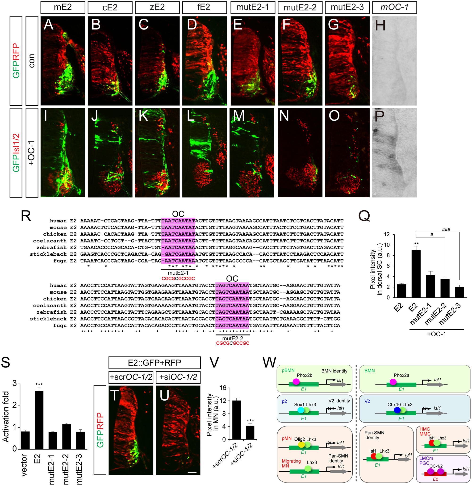OC-1 activates the E2 enhancer in LMC neurons.