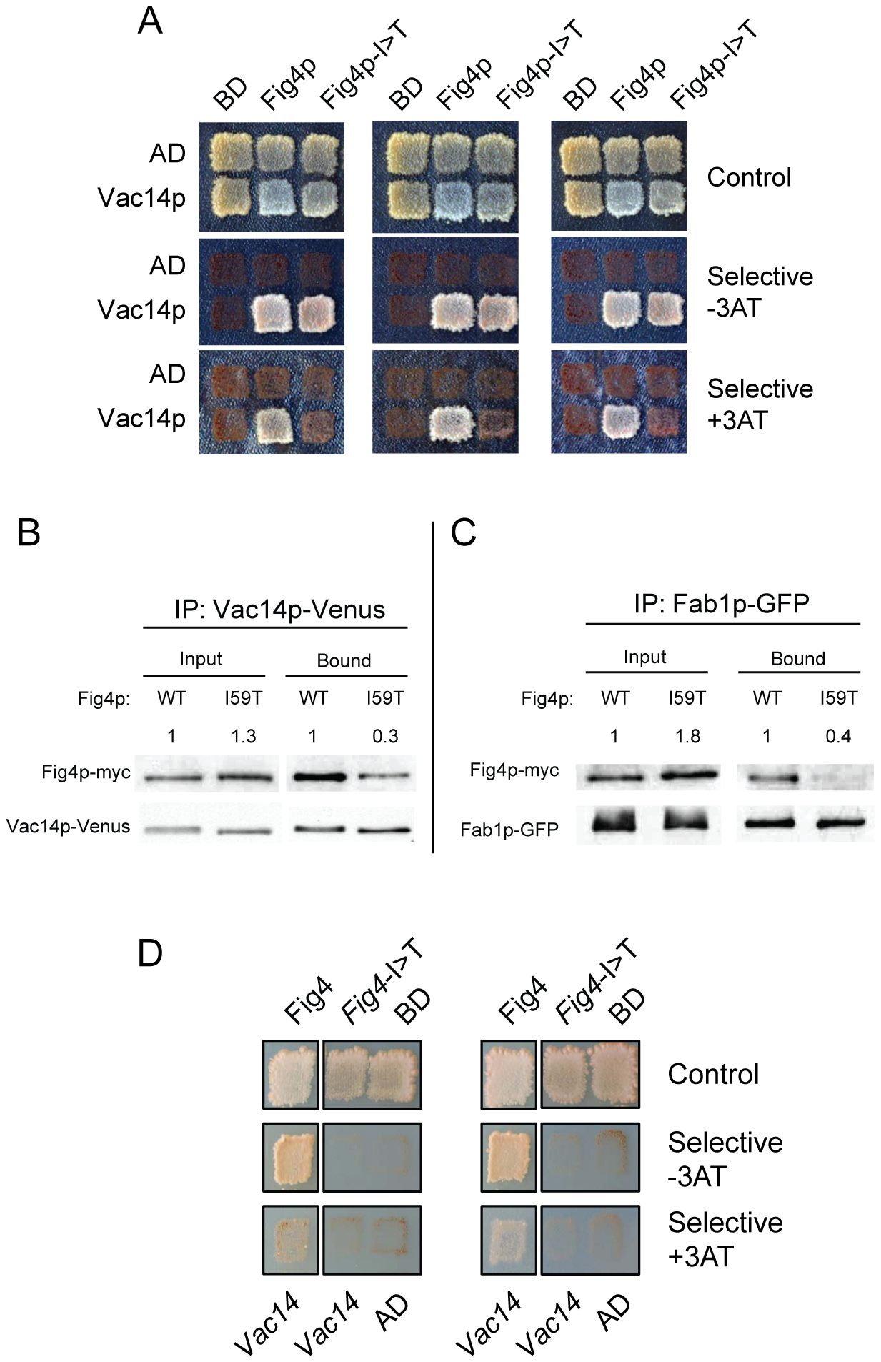 Impaired interaction of FIG4-I41T mutant protein with VAC14 and reduced co-immunoprecipitation with FAB1.