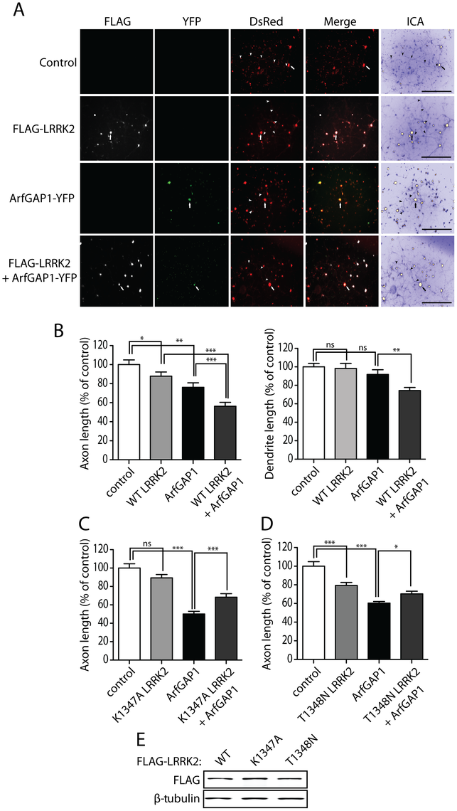 Synergistic effects of LRRK2 and ArfGAP1 overexpression on neurite shortening.