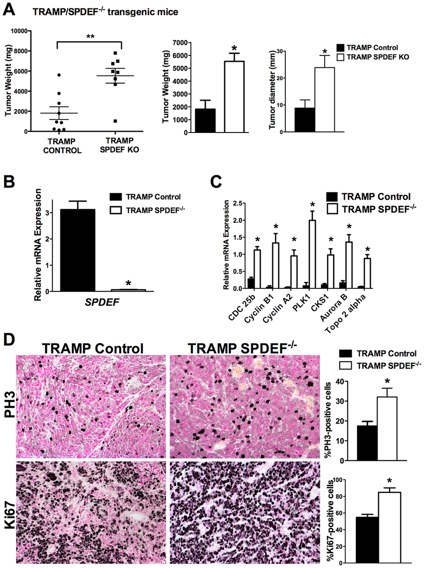 Prostate carcinogenesis is increased in SPDEF<sup>−/−</sup> mice.