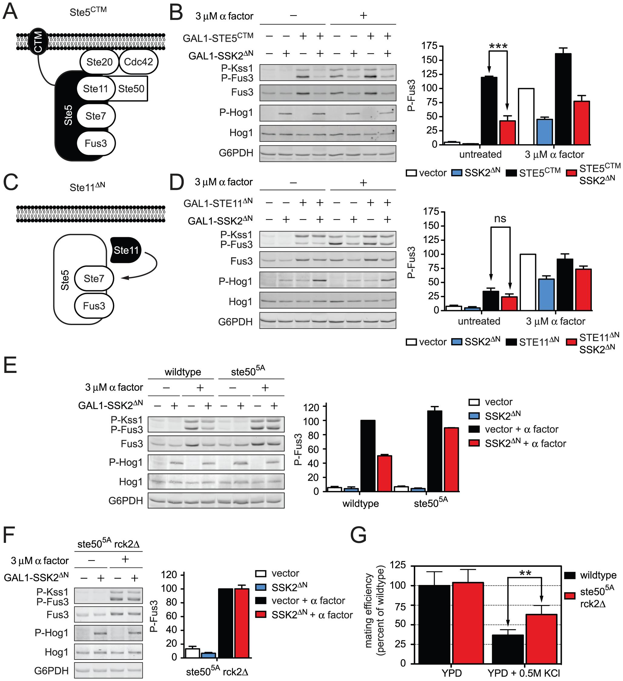 Hog1 dampens Fus3 activation by targeting Ste50.