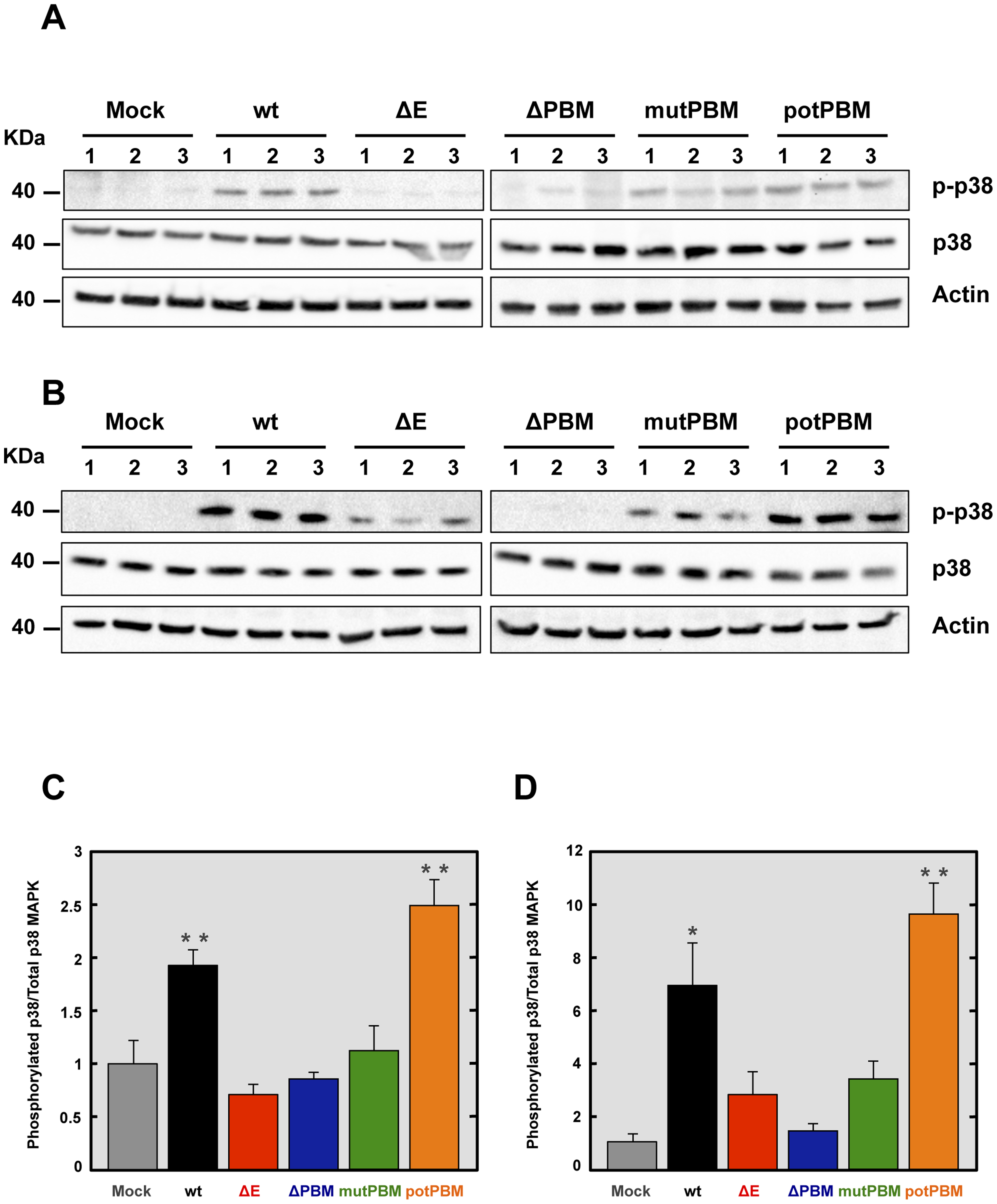Activation of p38 MAPK in SARS-CoV-E-PBM mutants infected mice and cells.