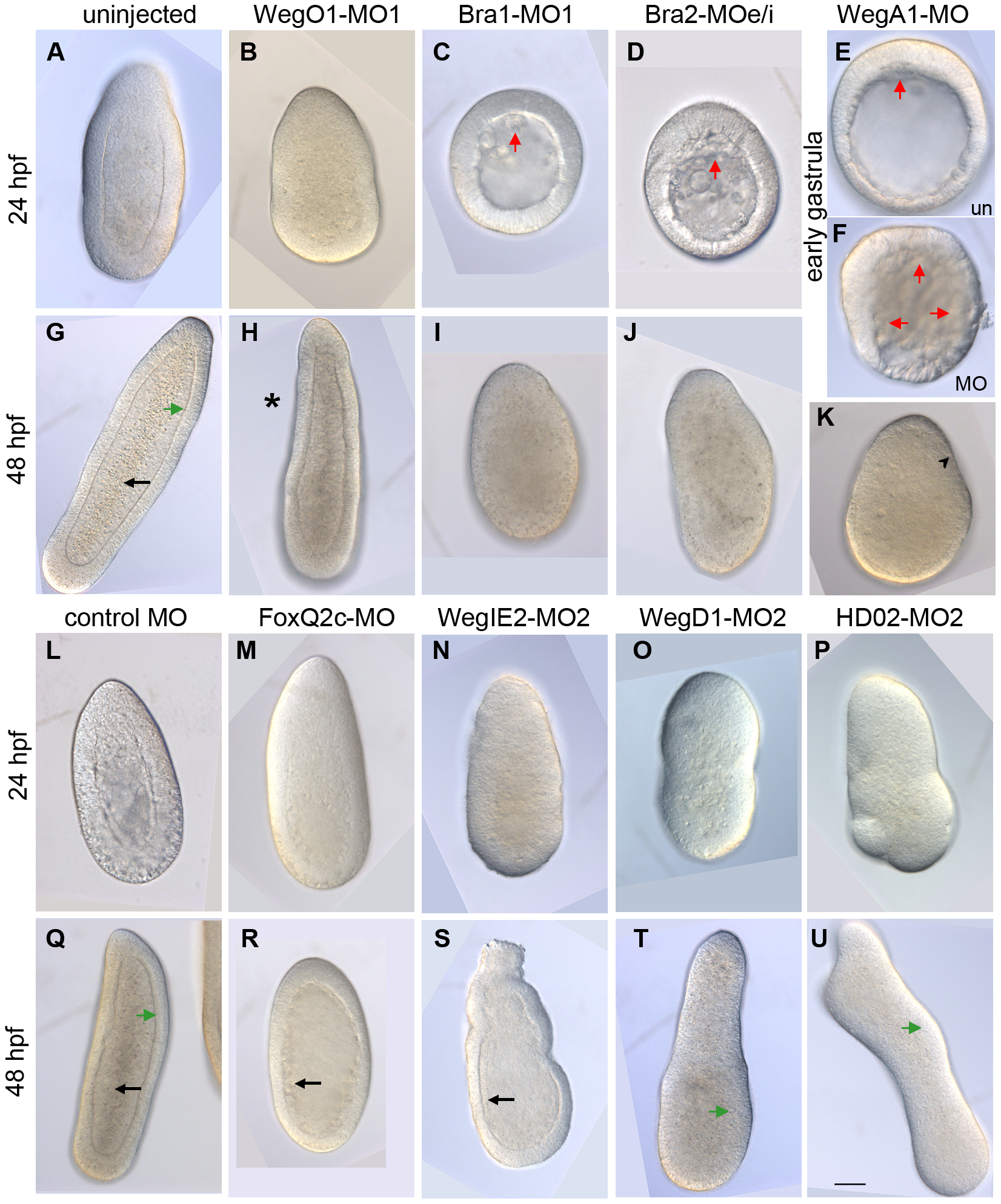 Morpholinos targeting conserved and cnidarian-specific transcripts disrupt development.