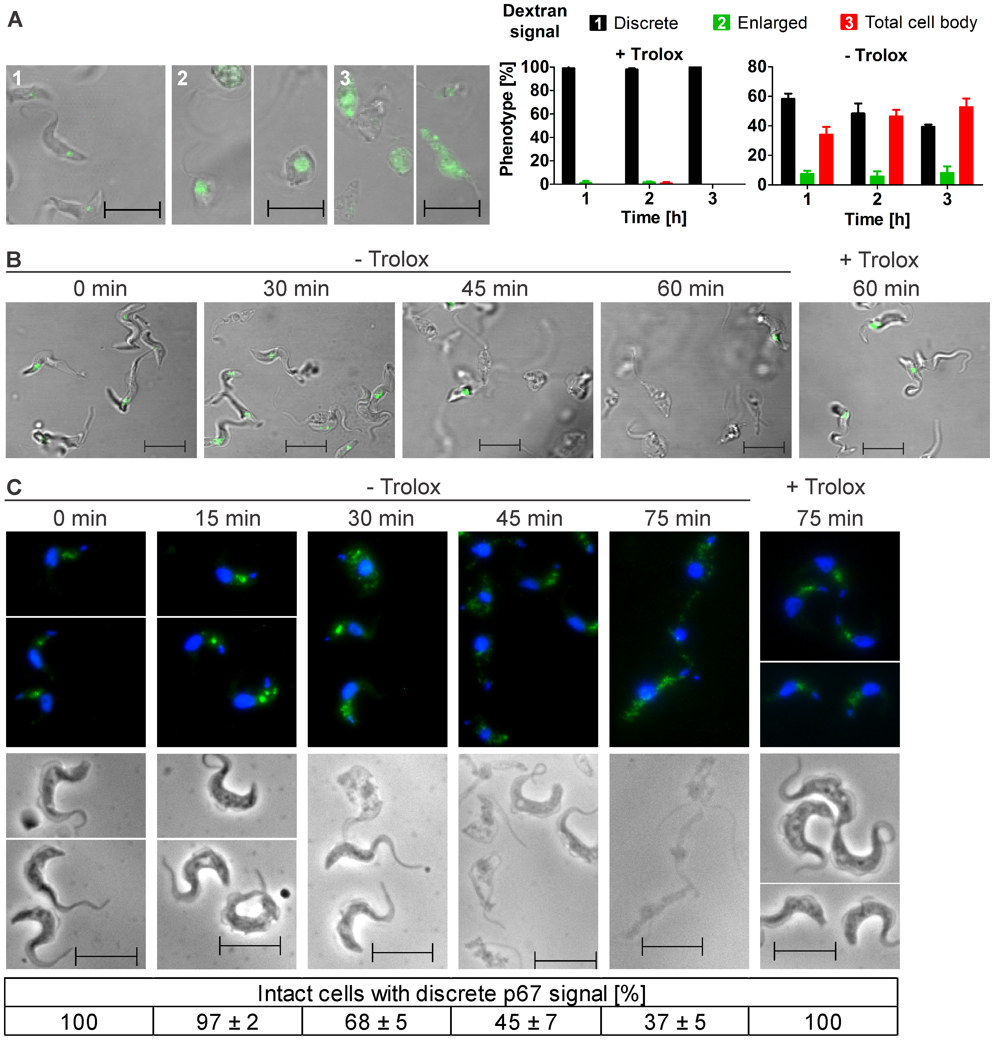 Withdrawal of Trolox results in morphological changes of the <i>px I–II</i><sup>−/−</sup> BS cells.