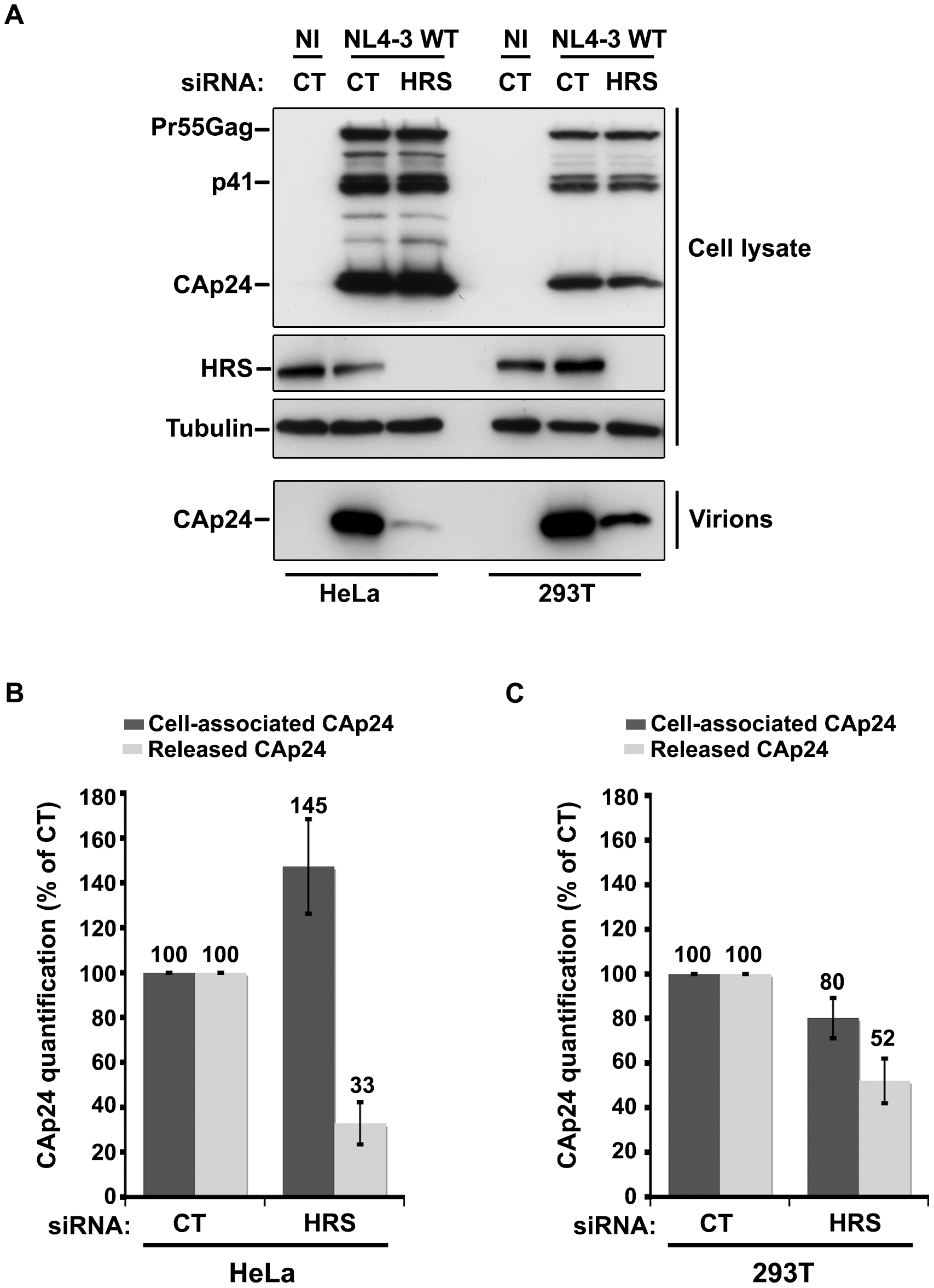Effect of HRS depletion on the release of HIV-1 particles from non-restrictive HEK 293T cells.