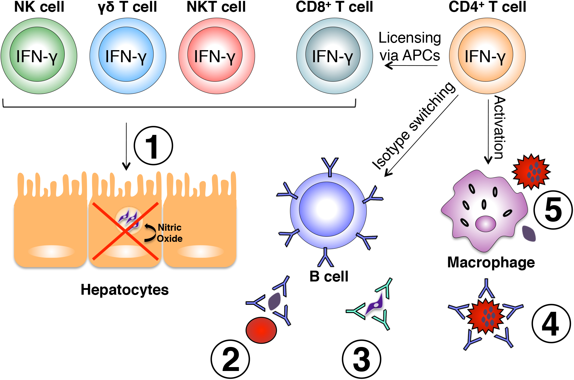 Effector mechanisms induced by IFN-γ during malaria.