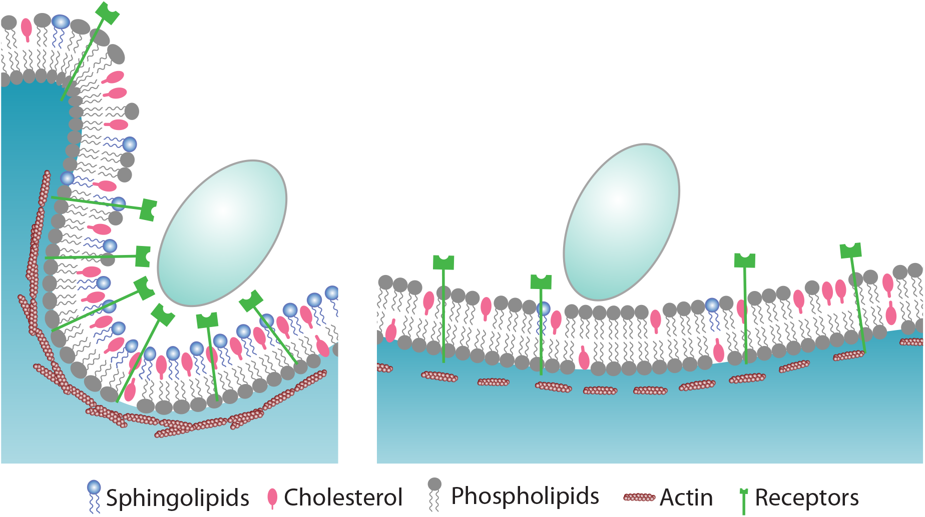 Proposed model for the role of sphingolipids during phagocytosis of <i>C</i>. <i>albicans</i>.