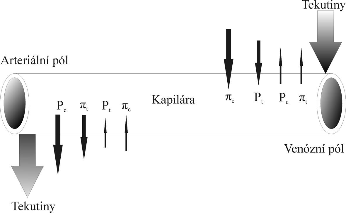 Schéma přesunu tekutin mezi kapilárou a intersticiem. Šipky zobrazují tlaky působící na stěny kapilár v mikrocirkulaci. Pt Hydrostatický tlak intersticia Pc Hydrostatický tlak krevní plazmy πt Koloidně osmotický tlak intersticia  πc Koloidně osmotický tlak krevní plazmy
