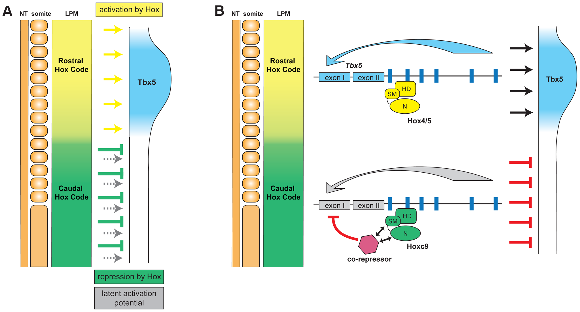 Model for the combinatorial regulation of forelimb-restricted <i>Tbx5</i> expression by distinct paralogous Hox gene inputs.