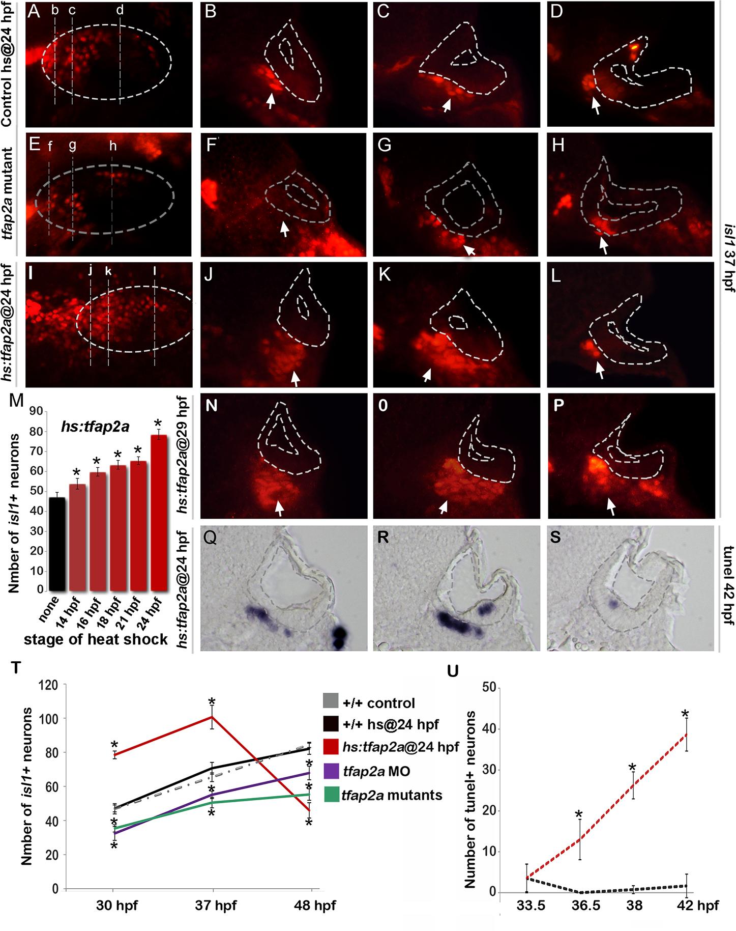 Tfap2a regulates maturation of SAG neurons.