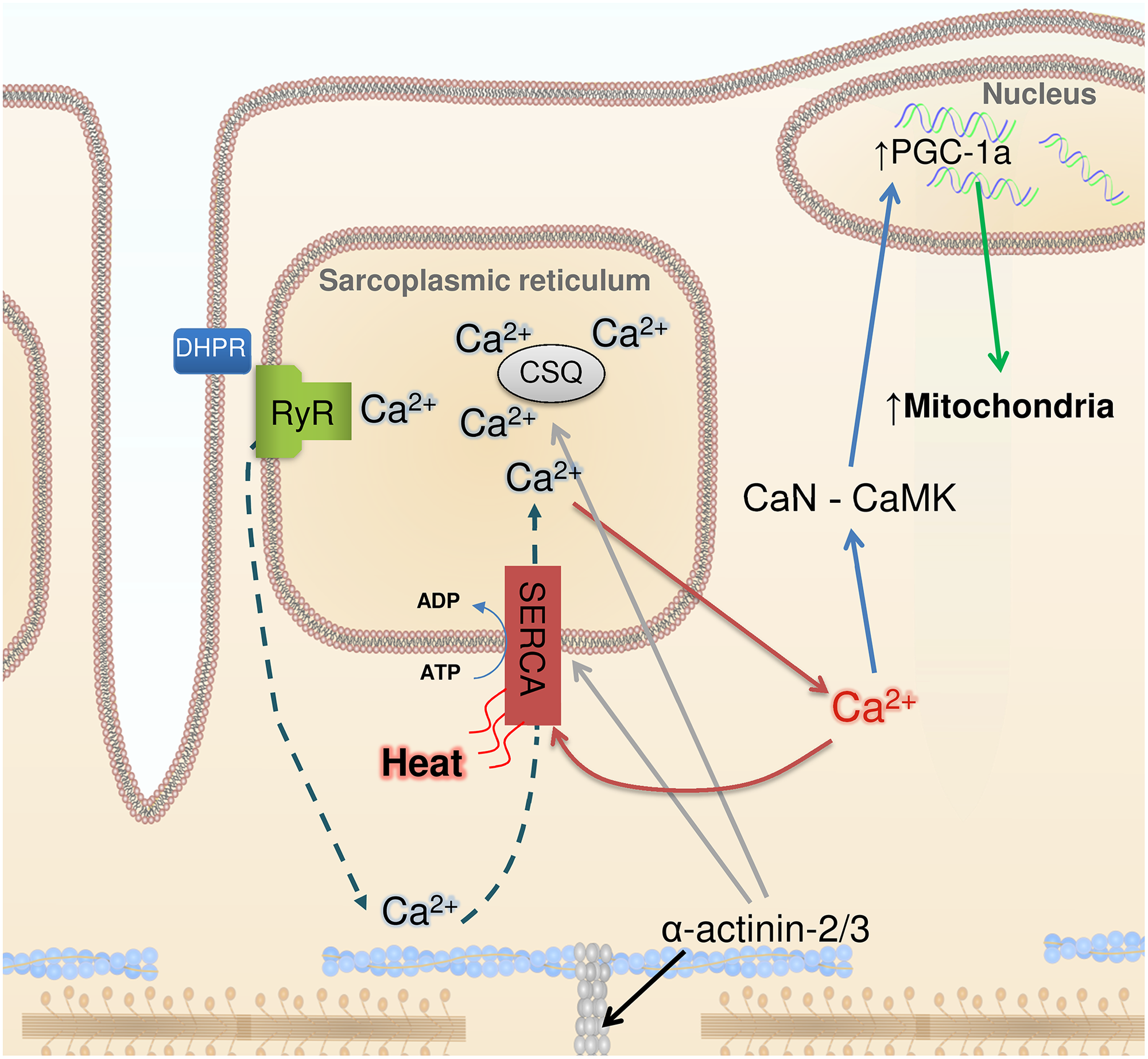Ca<sup>2+</sup>, heat, and mitochondrial biogenesis.