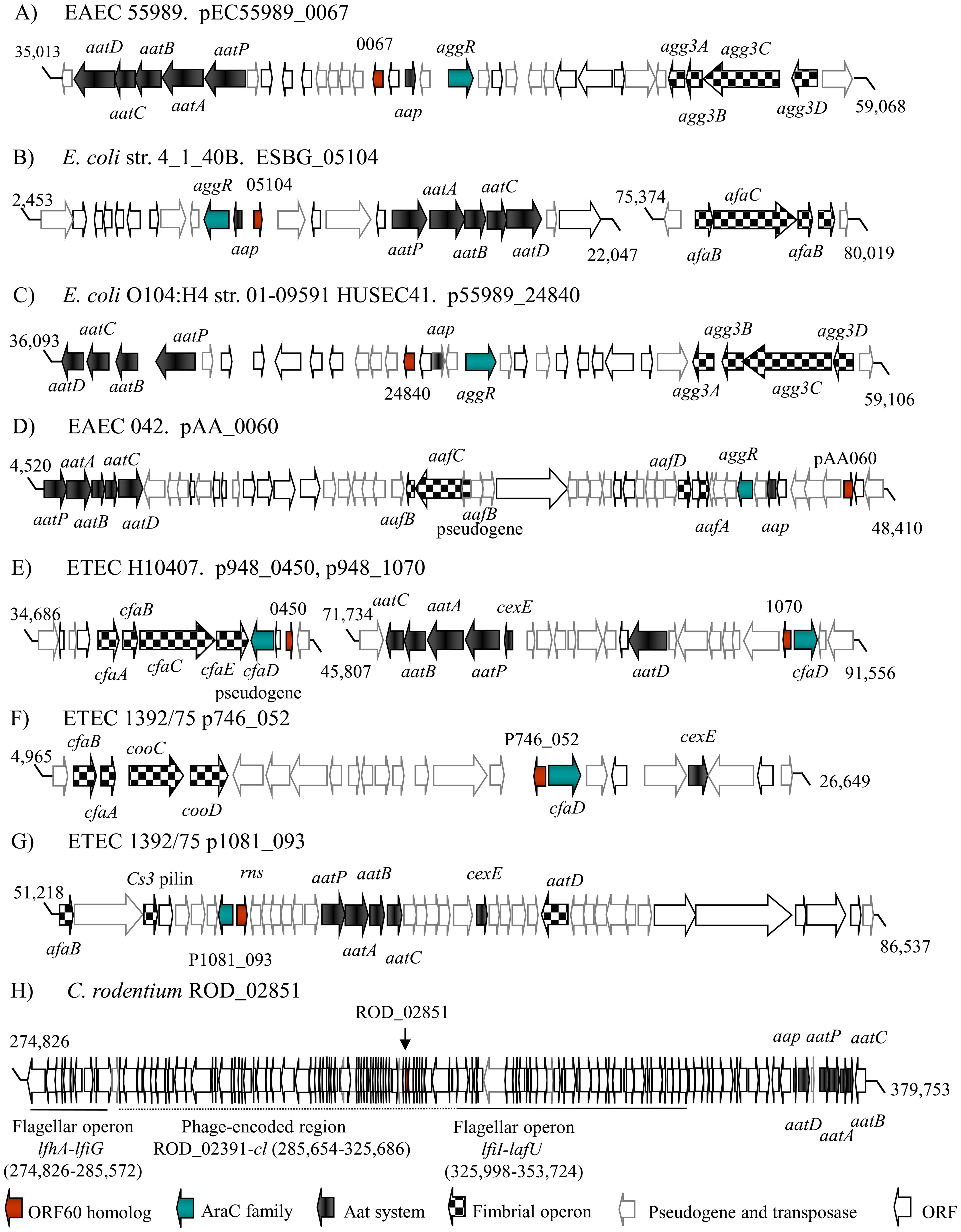 Genetic organization of orf60 homologs.
