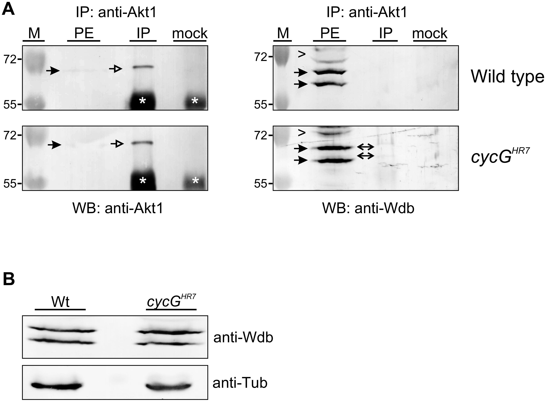 Influence of CycG on Akt1-Wdb binding.