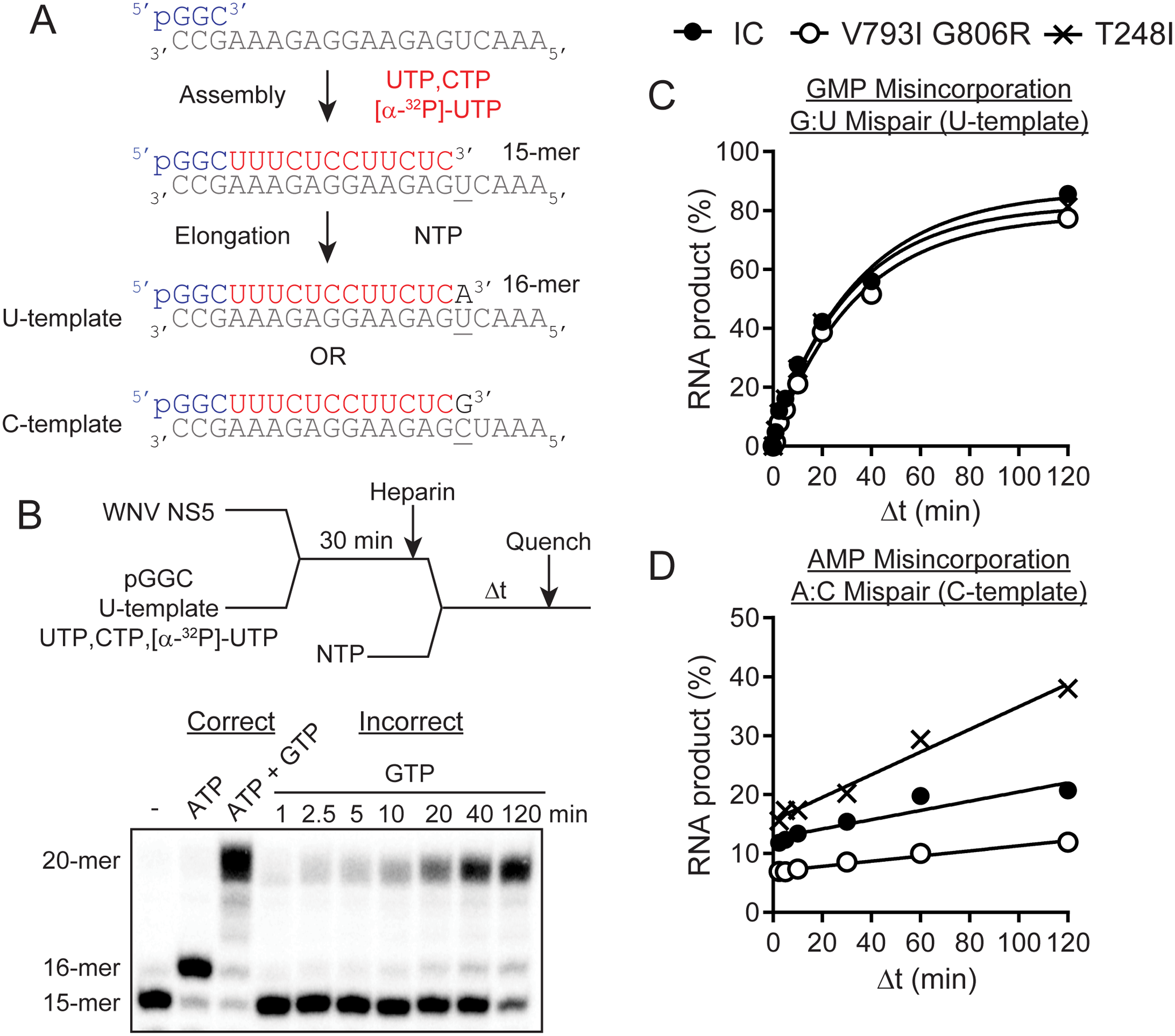 Evaluation of WNV NS5 variants with an in vitro primer extension assay reveals differences in polymerase incorporation fidelity.