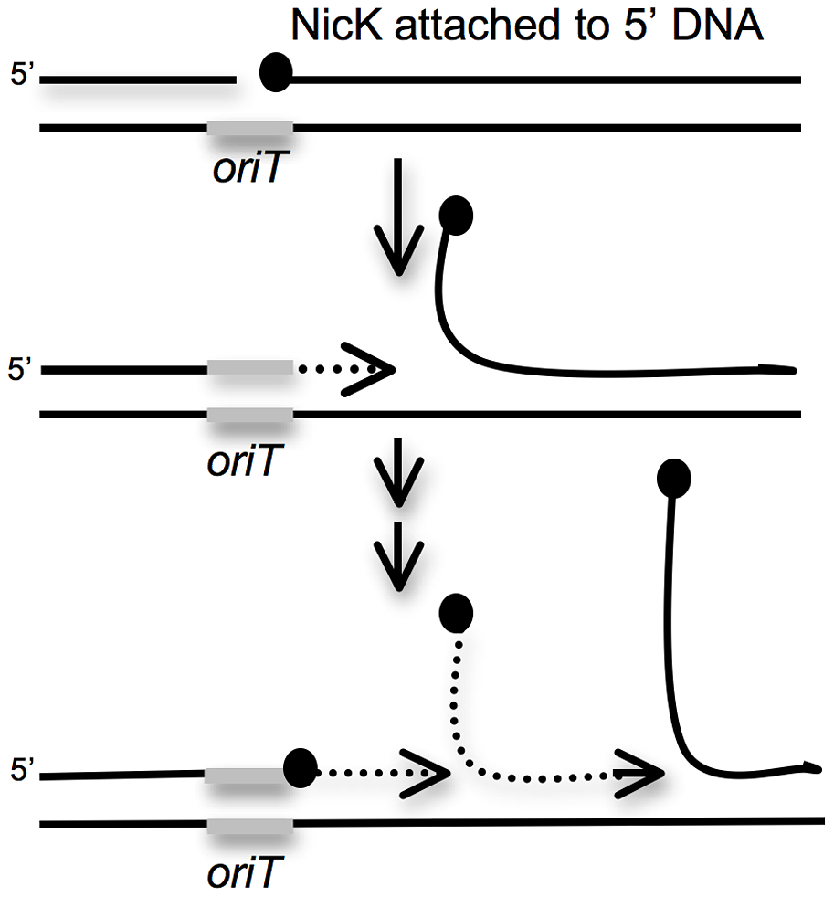 Cartoon of repeated rolling-circle replication from the ICE<i>Bs1 oriT</i> that is stuck in the chromosome.